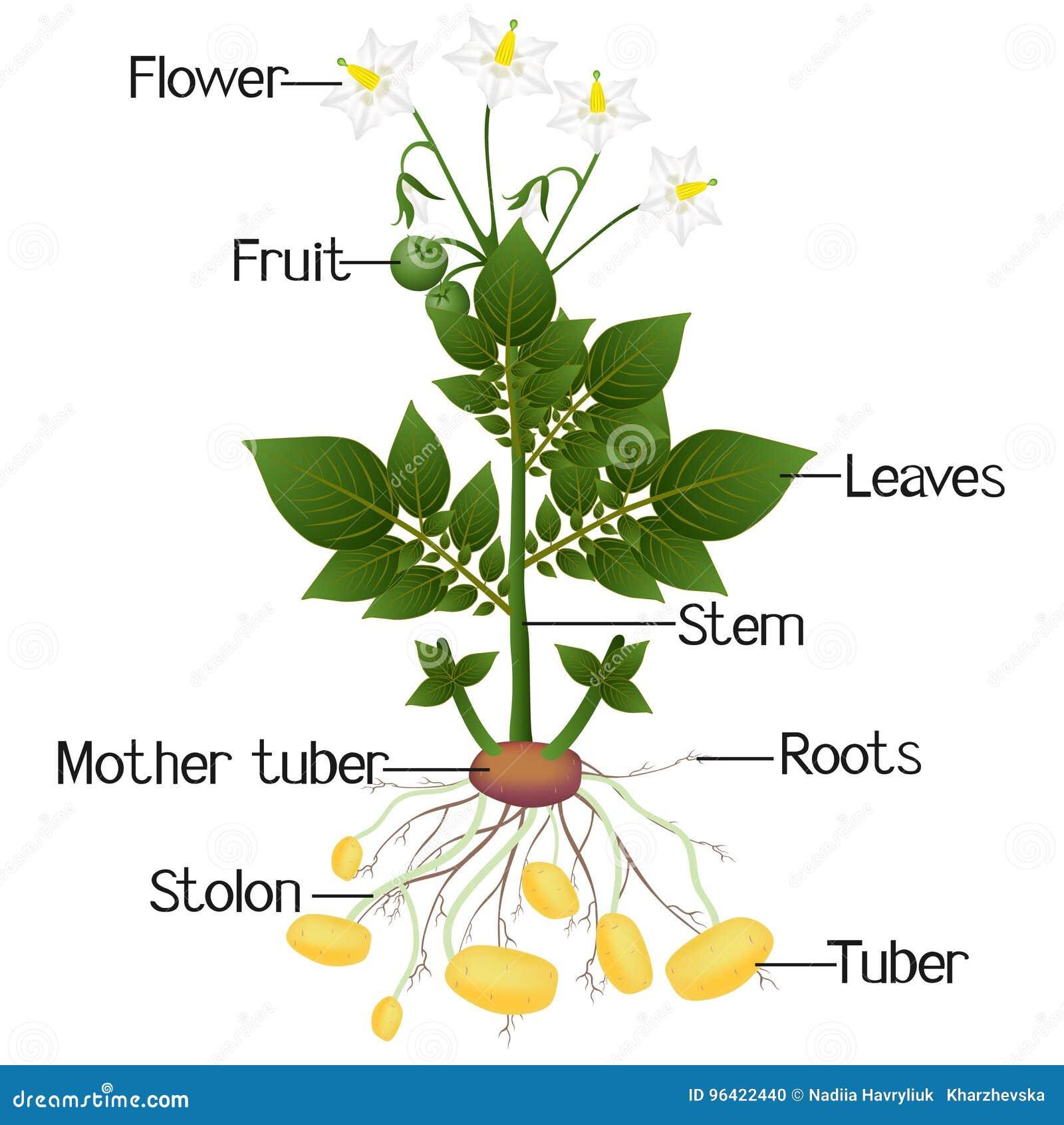 diagram of how potatoes grow wiring diagram rh jh pool de  diagram of a sweet potato plant