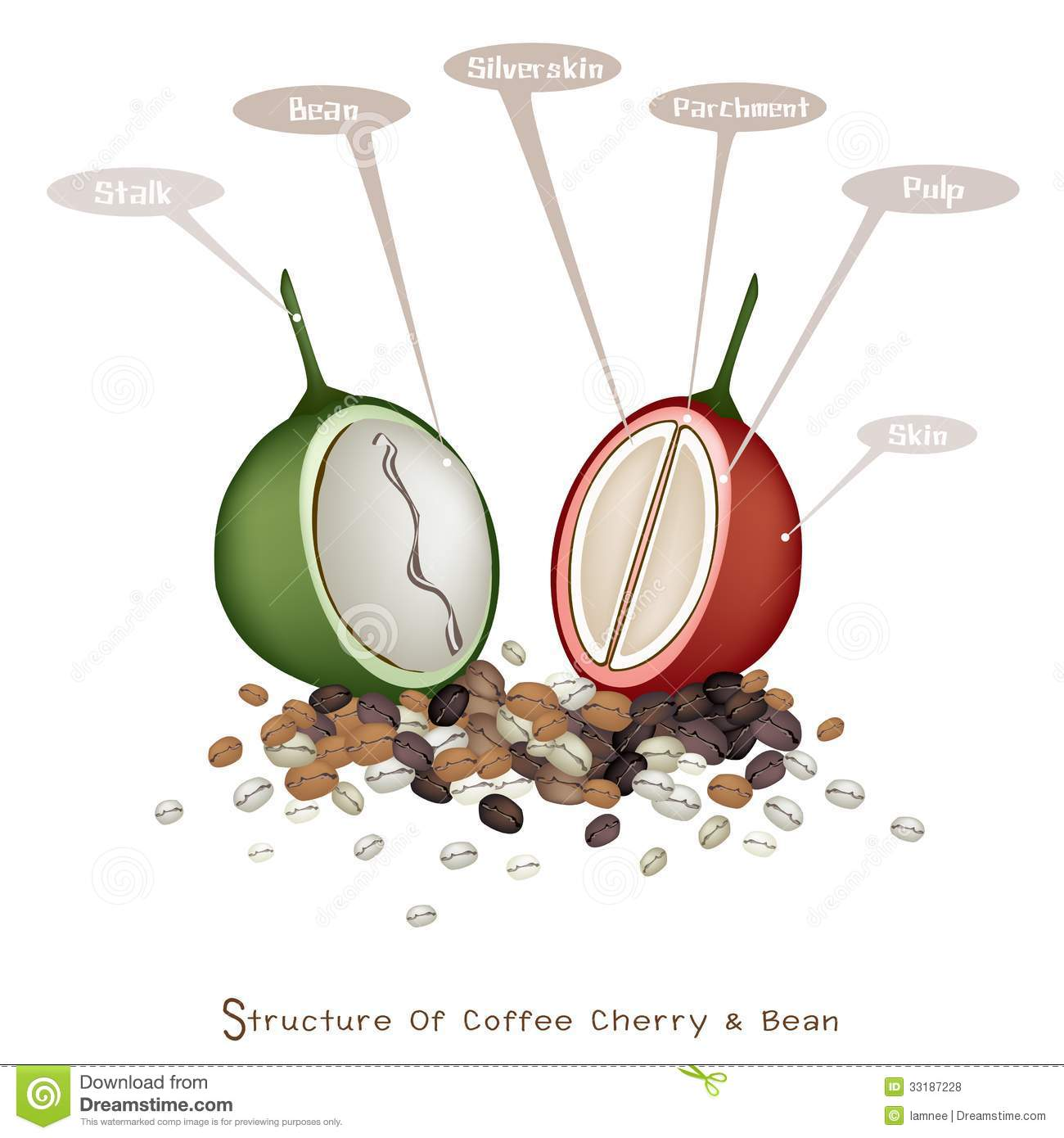 Structure Of Ripe And Unripe Coffee Berries Royalty Free Stock Photos ...