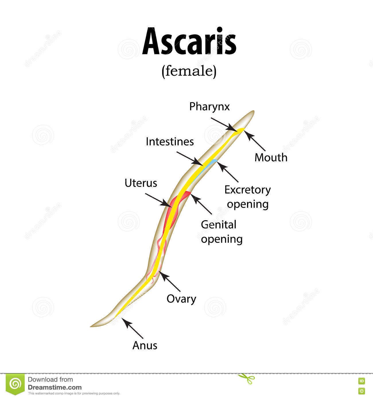 The Structure Of The Roundworm. Ascaris. Vector