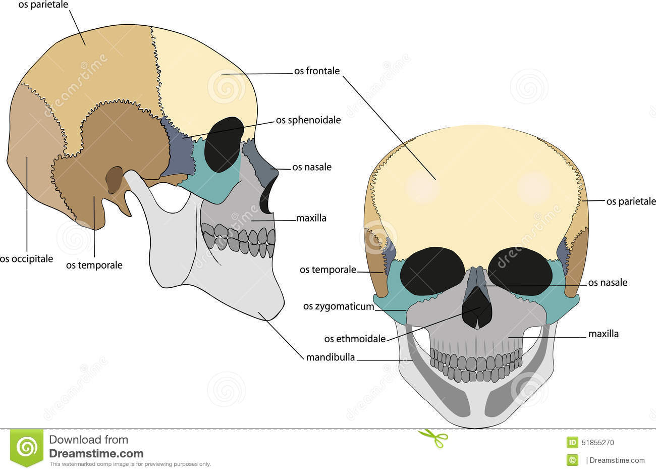 Structure of the scull stock vector. Illustration of parietalis ...