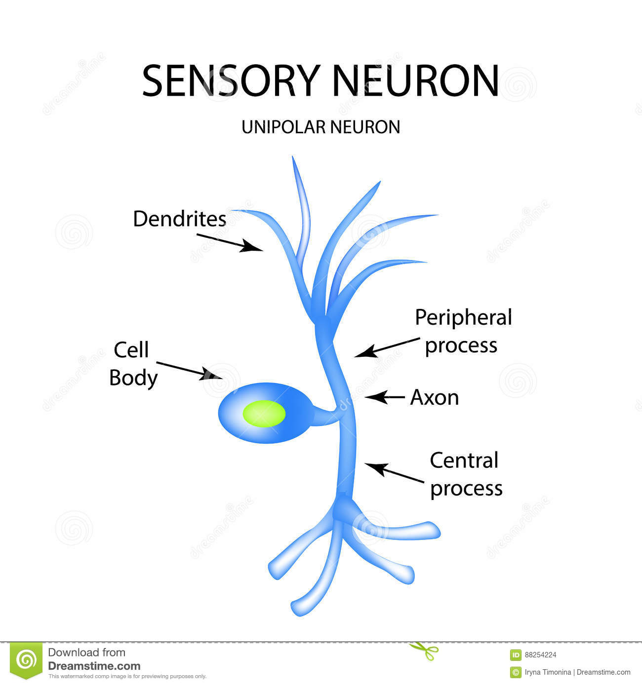 The structure of the sensory neuron infographics vector the structure of the sensory neuron infographics vector illustration on isolated background image cord ccuart Image collections