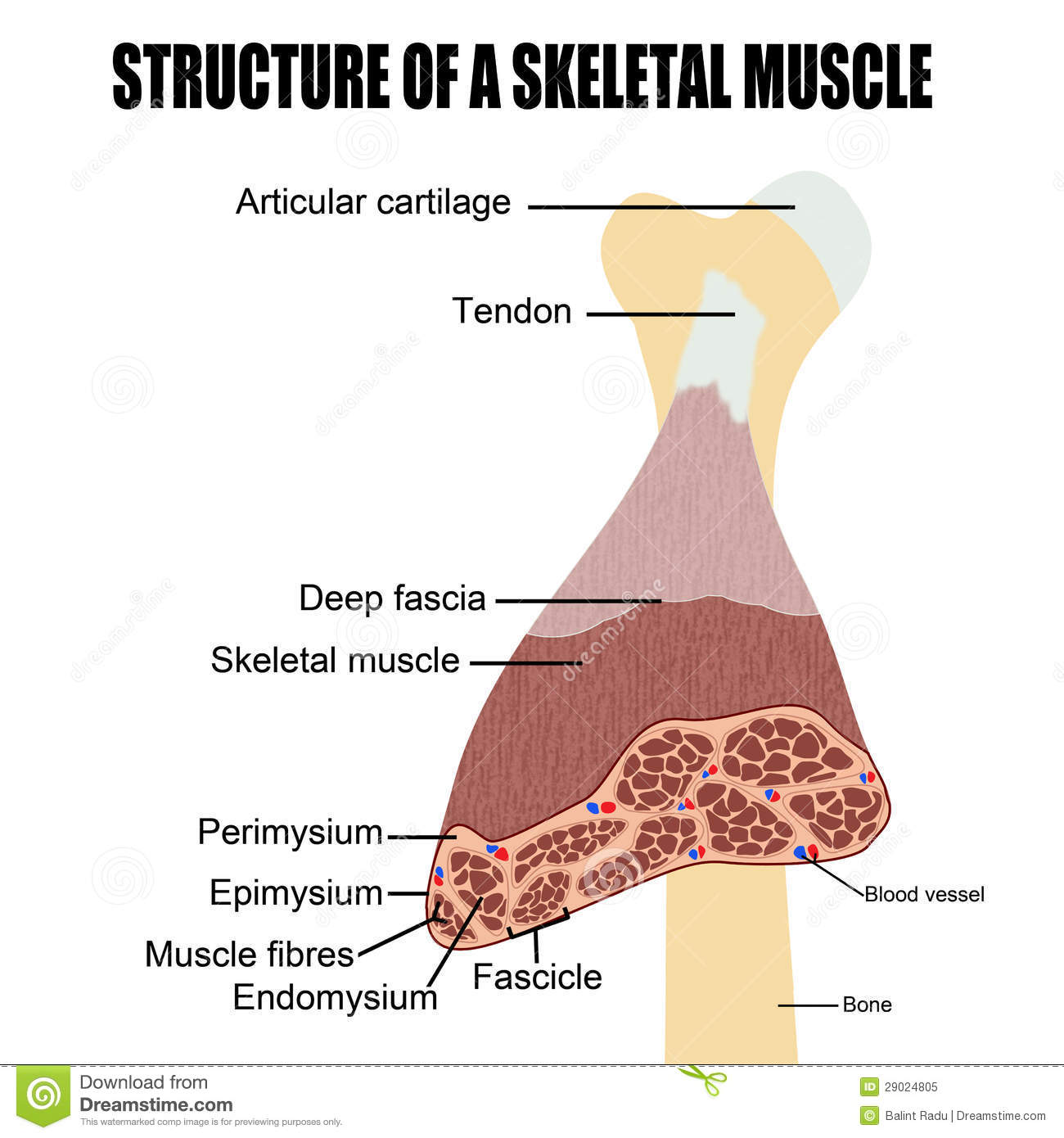 Structure Of A Skeletal Muscle Stock Vector Illustration Of