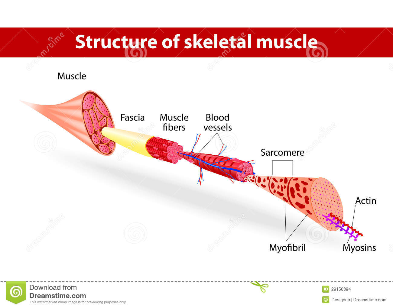 Structure Of Skeletal Muscle Stock Vector - Illustration of ...