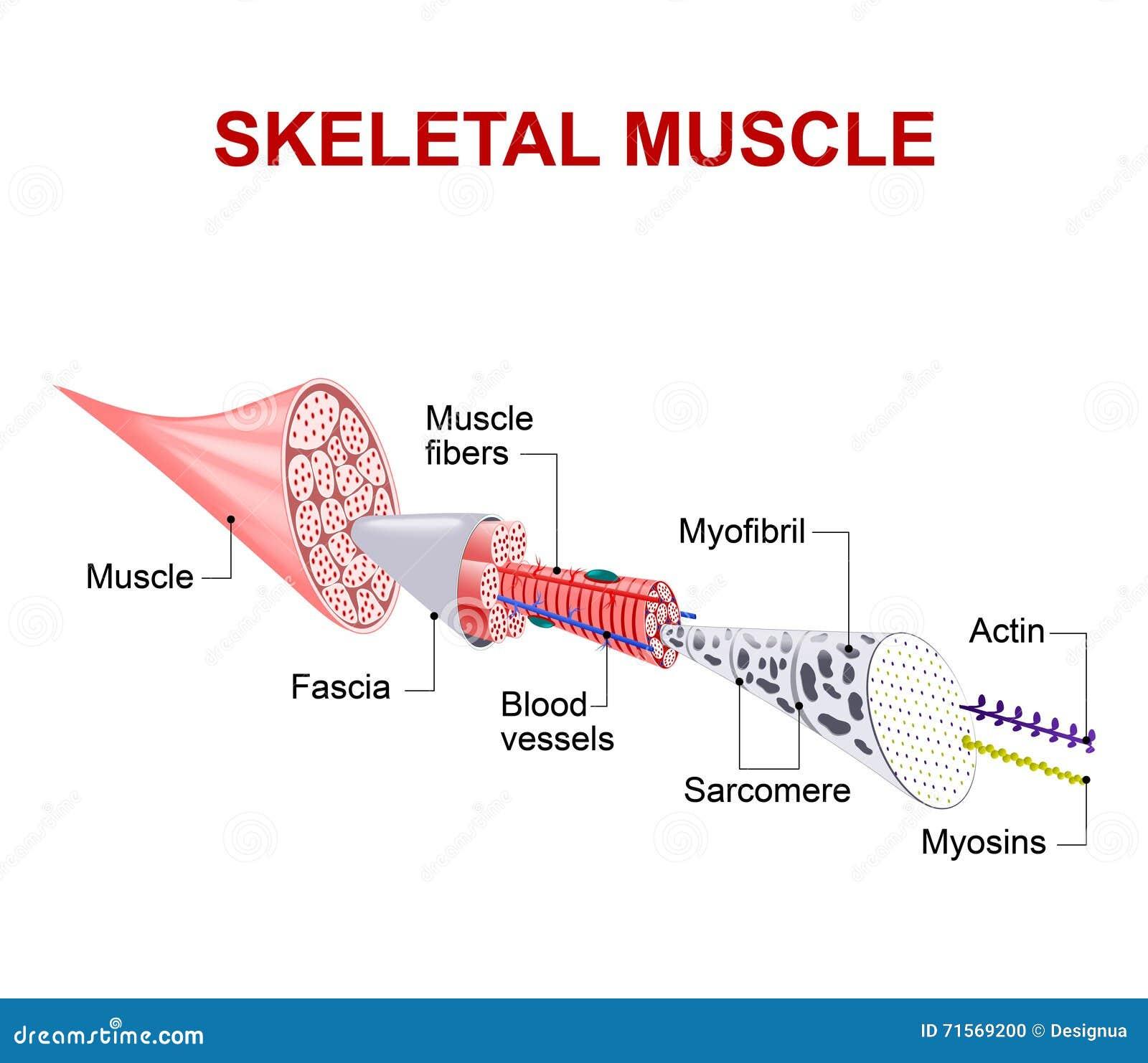 Skeletal Muscle Structure Vatozozdevelopment