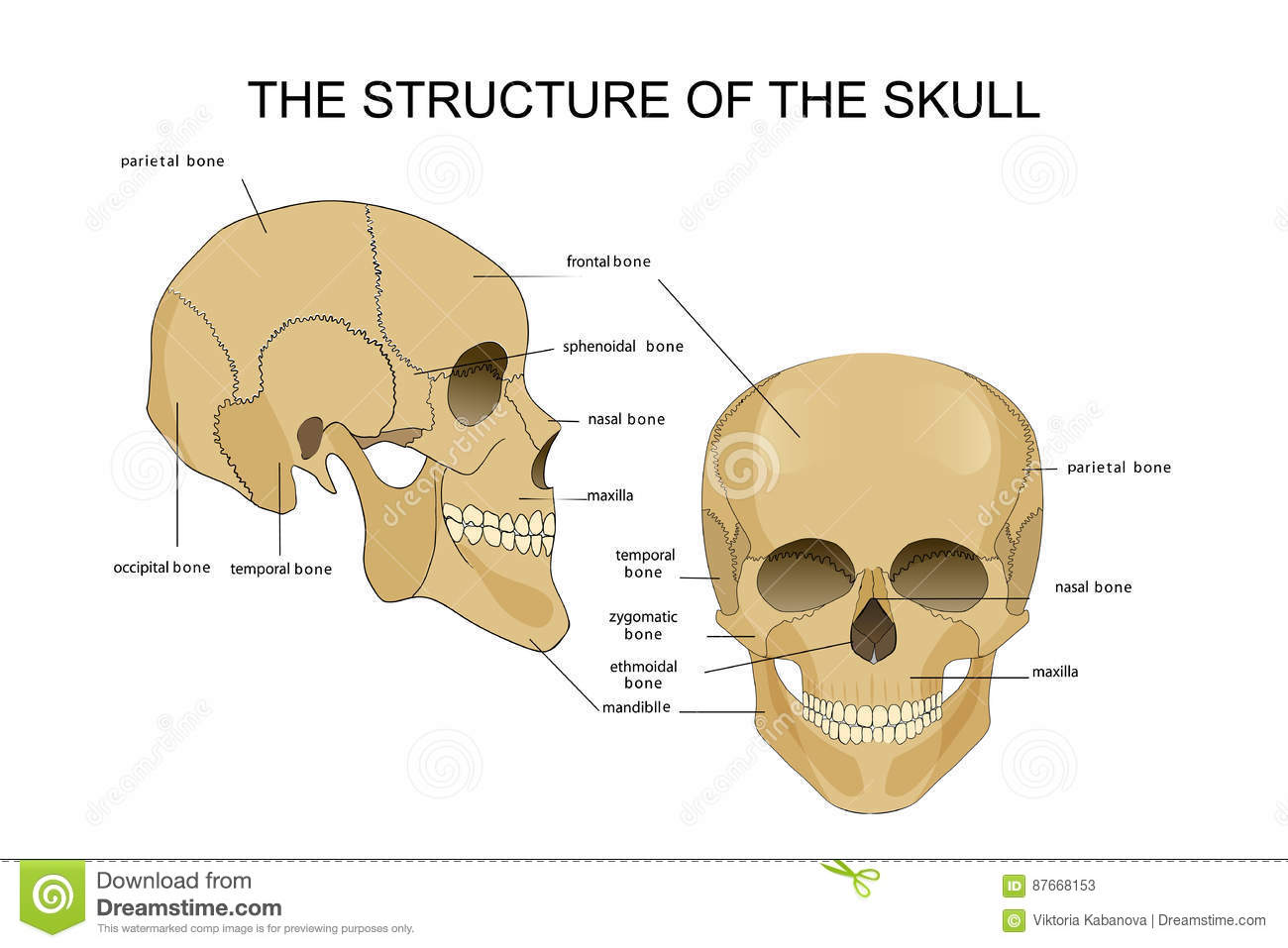 the structure of the skull stock vector illustration of. Black Bedroom Furniture Sets. Home Design Ideas