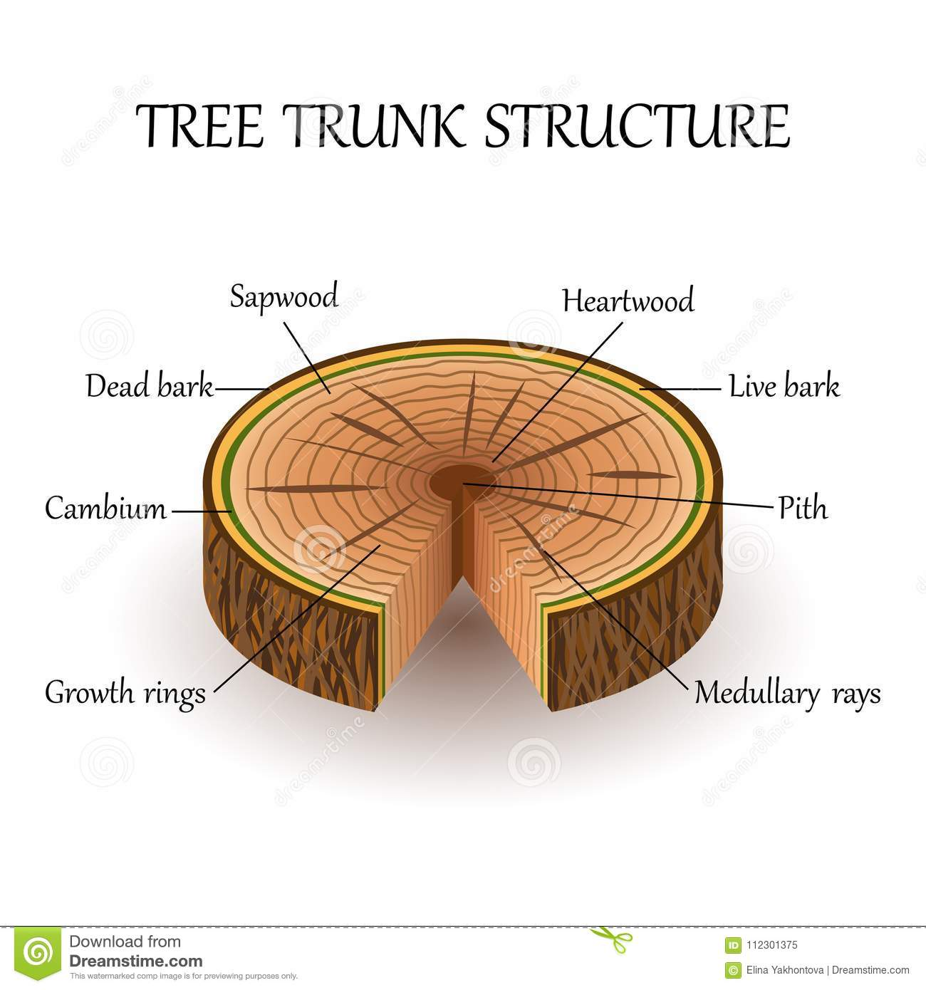 Tree Trunk Plant Diagram Biology Data Wiring Diagrams Help Cell The Structure Of Slice Layers In Cross Section Rh Dreamstime Com Labeled