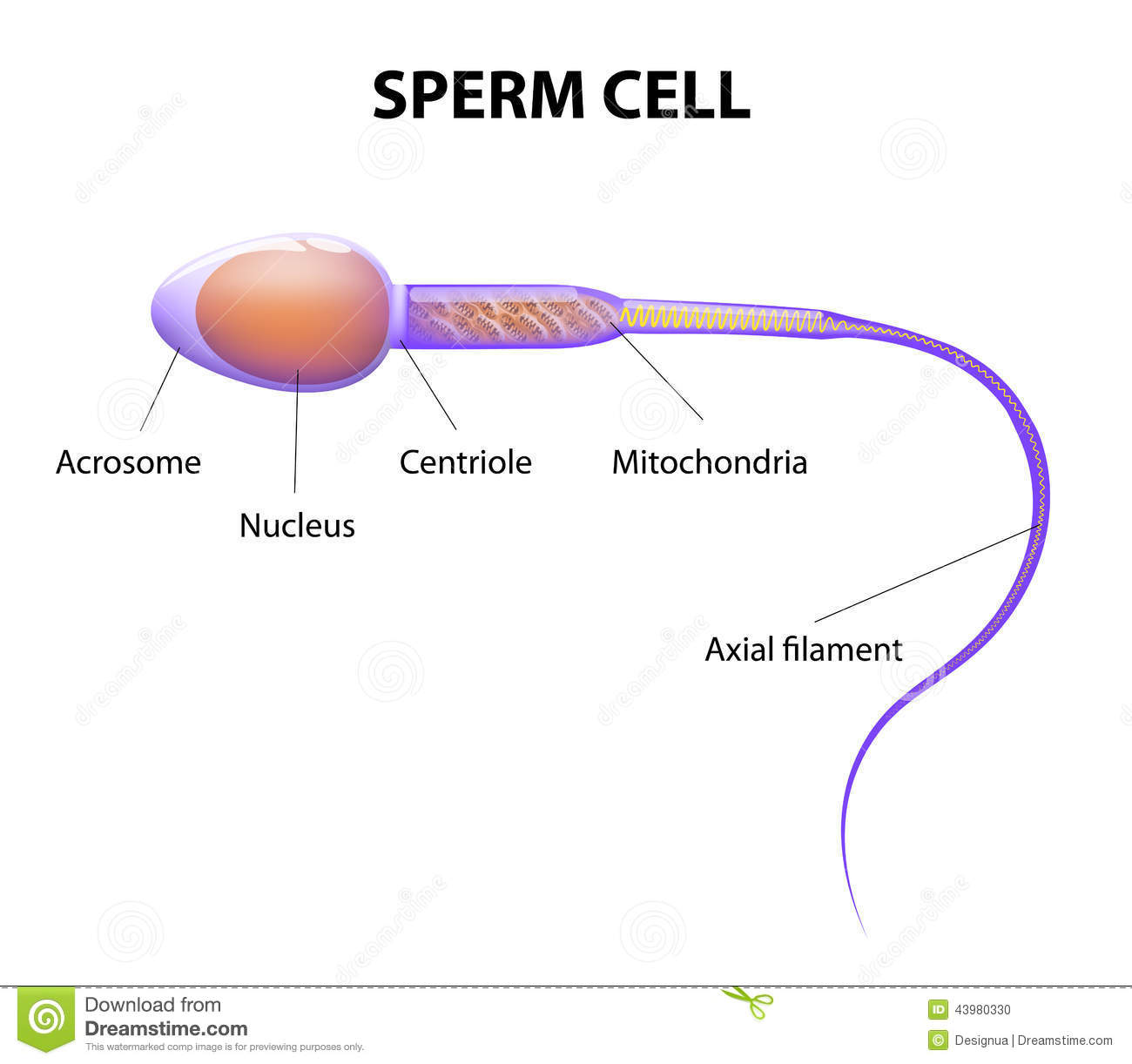 Structure of a sperm cell stock vector illustration of human structure of a sperm cell pooptronica