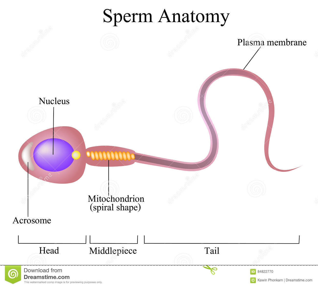 Structure of a sperm cell stock vector. Illustration of infertile ...