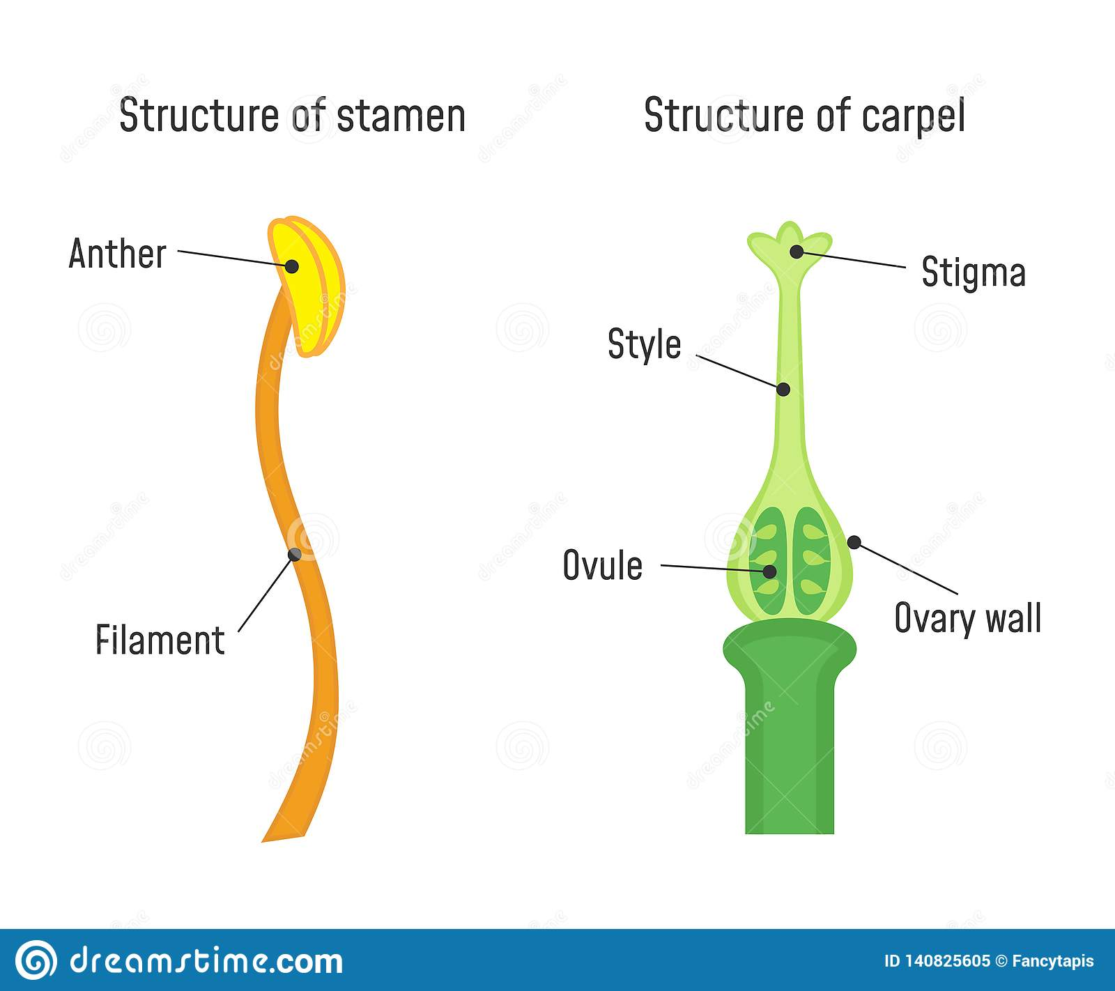 Structure Of Stamen And Carpel Stock Vector
