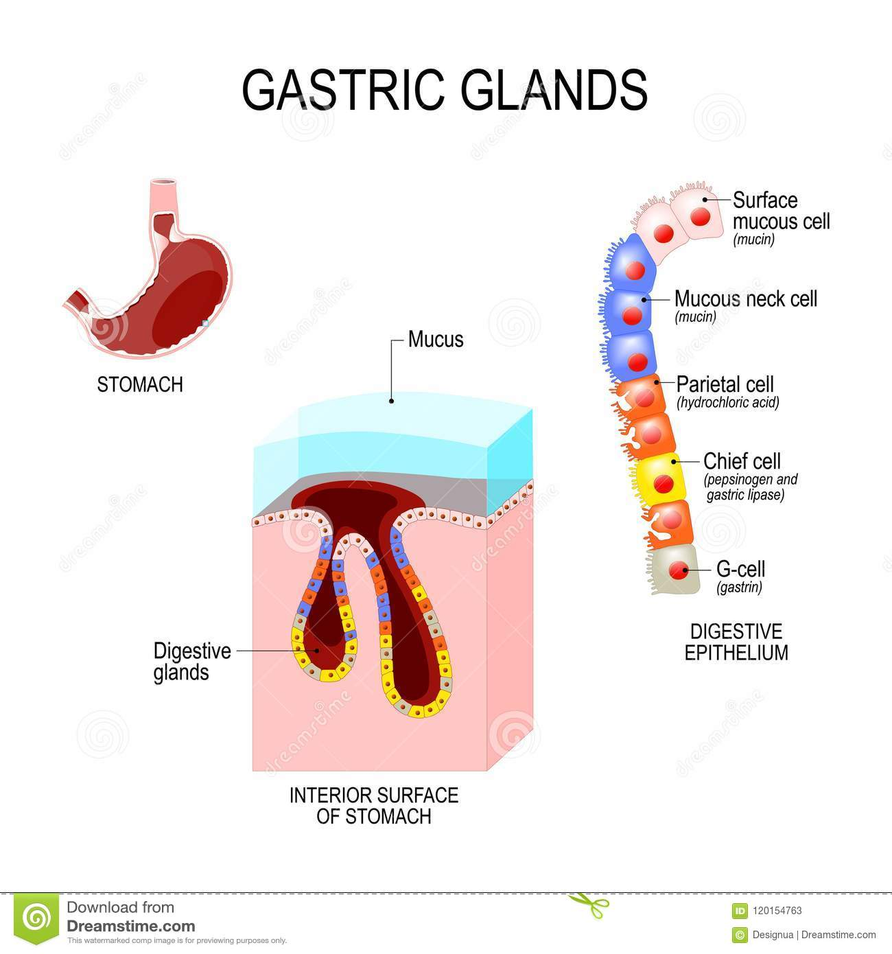 Structure of the stomach interior surface and cells of digestiv download structure of the stomach interior surface and cells of digestiv stock vector illustration ccuart Gallery