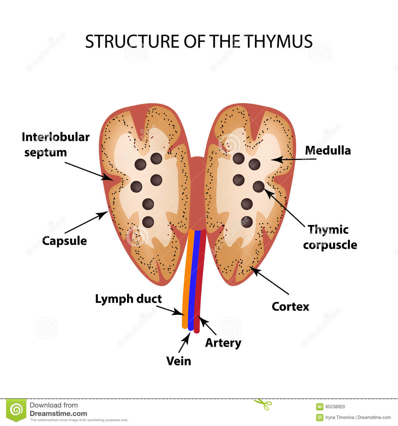 Thymus Stock Illustrations 363 Thymus Stock Illustrations Vectors