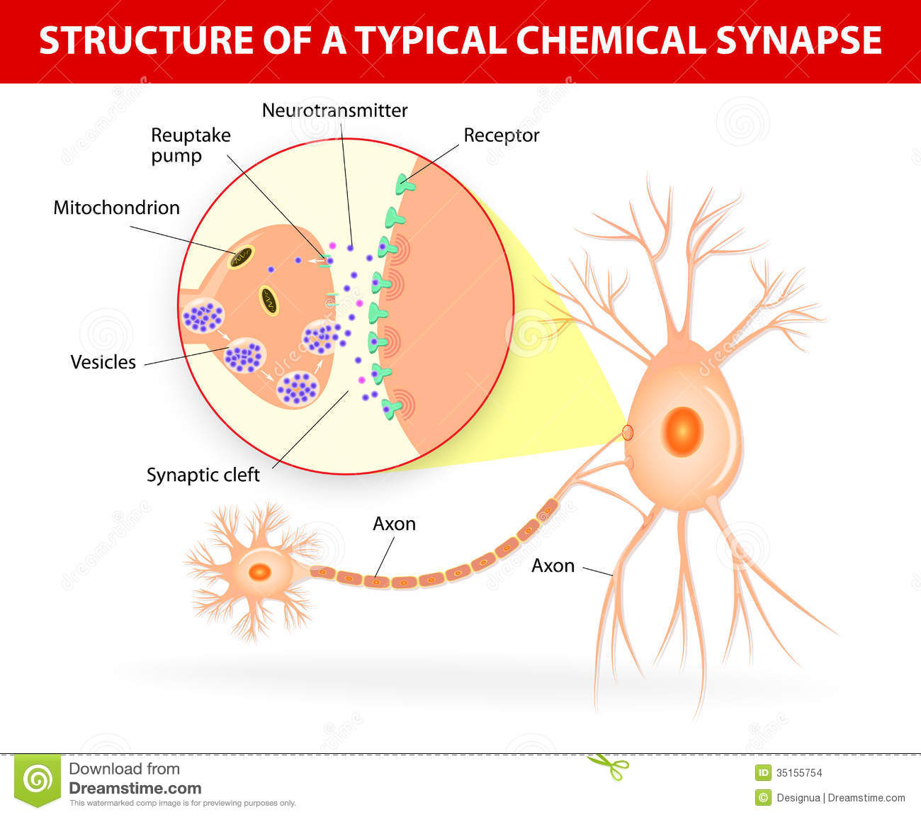 Structure Of A Typical Chemical Synapse Stock Vector - Illustration ...