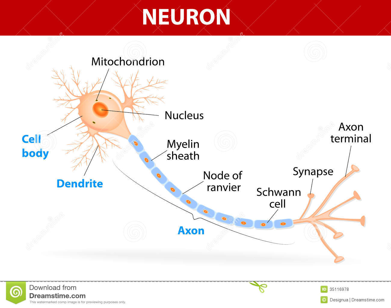structure typical neuron anatomy human axon synapse dendrite mitochondrion myelin sheath node ranvier schwann cell vector 35116978