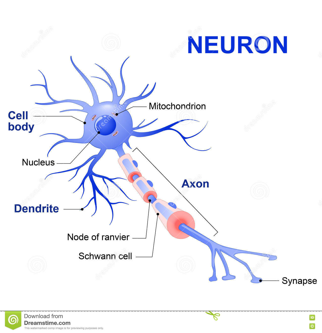 Structure Of A Typical Neuron Stock Vector - Illustration of brain ...