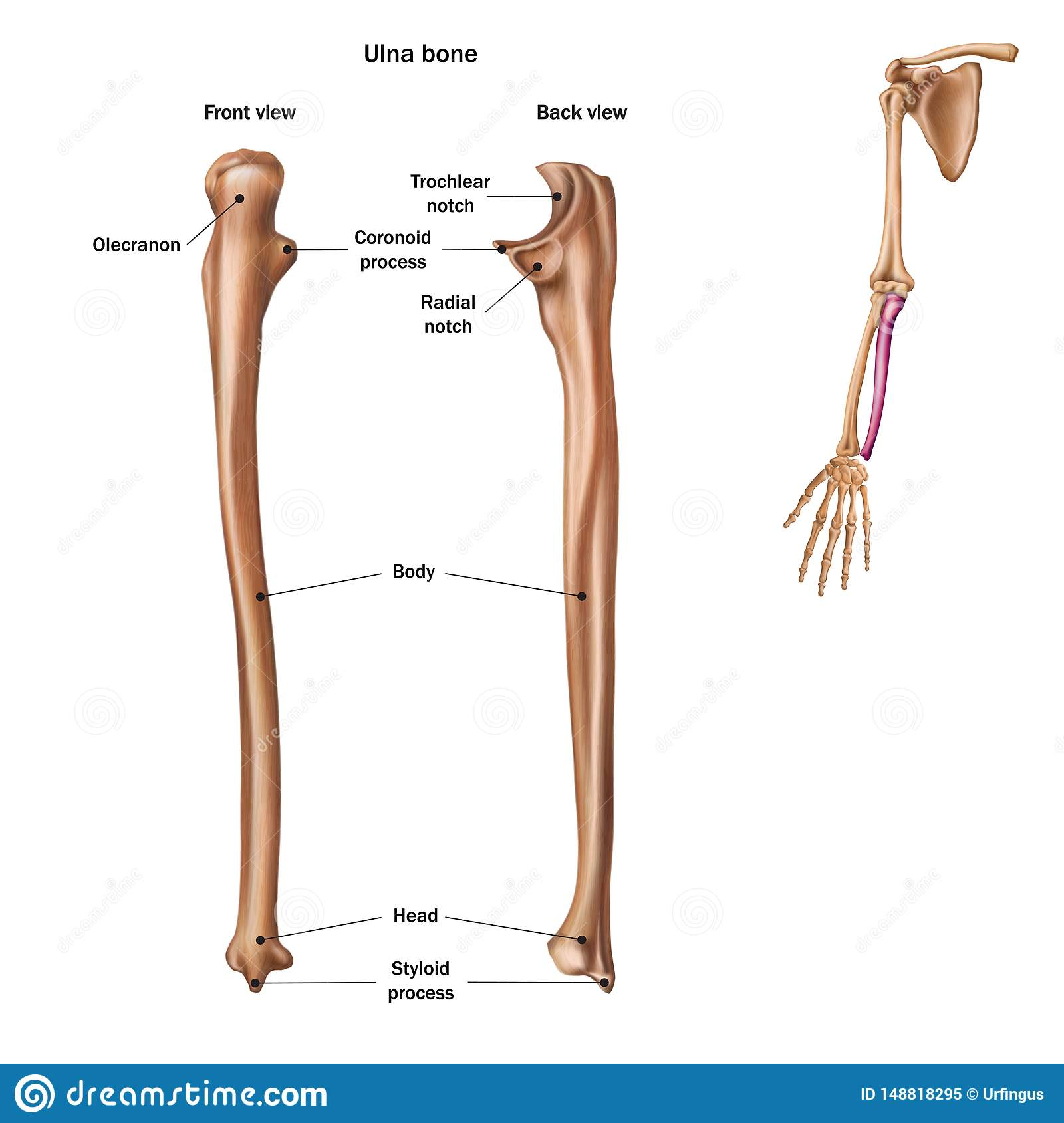 The Structure Of The Ulna Bone With The Name And Description Of All Sites  Back And Front View