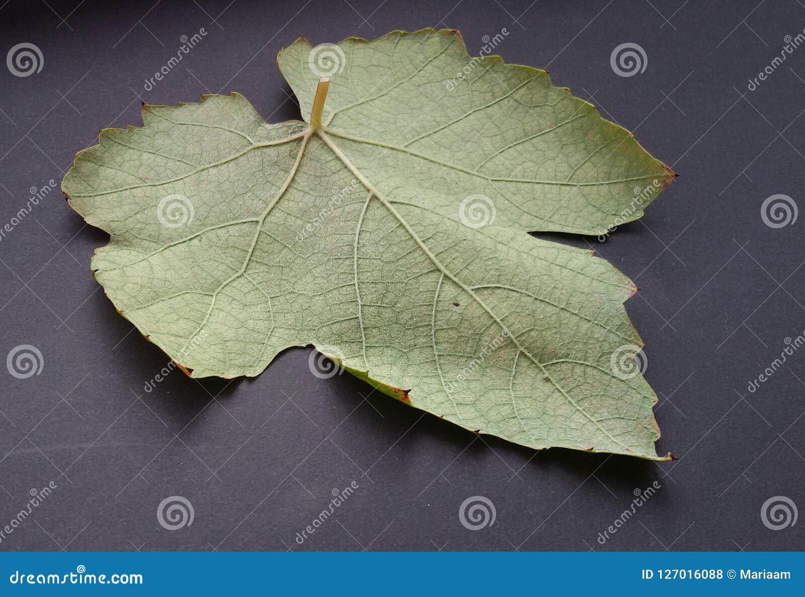 Structure of wine leaf over dark background.