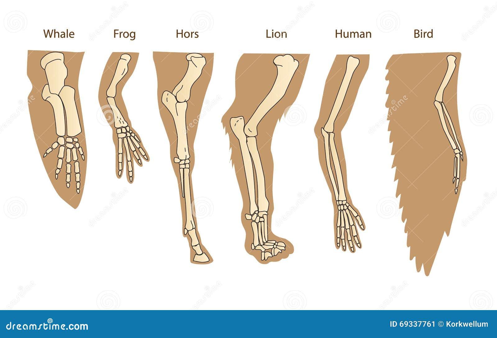 Structuur Forelimb van Zoogdieren Menselijk wapen Lion Forelimb Walvis Front Flipper Vogelvleugel