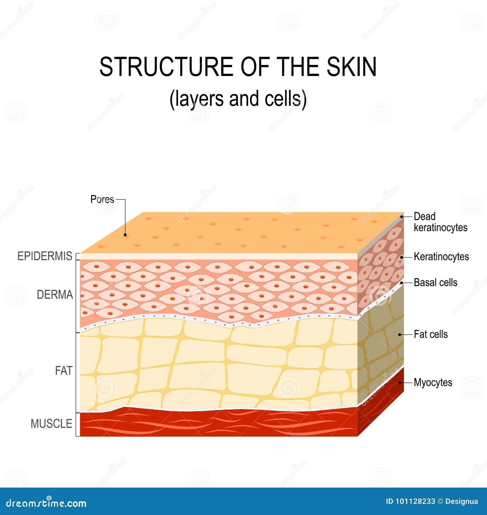 Structuur van de menselijke huid