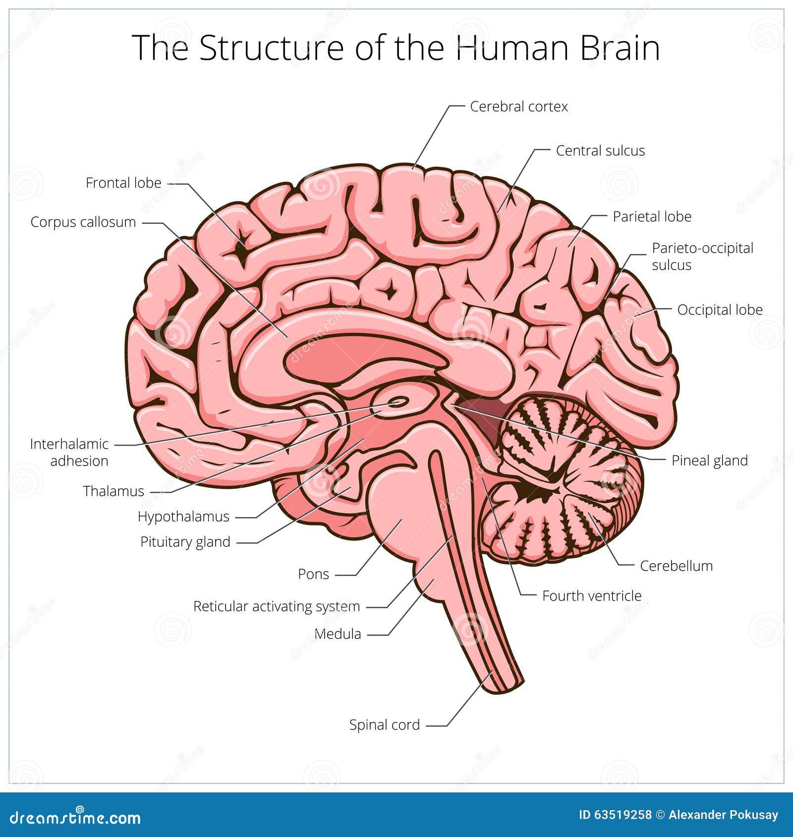 Structuur van de menselijke schematische vector van de hersenensectie
