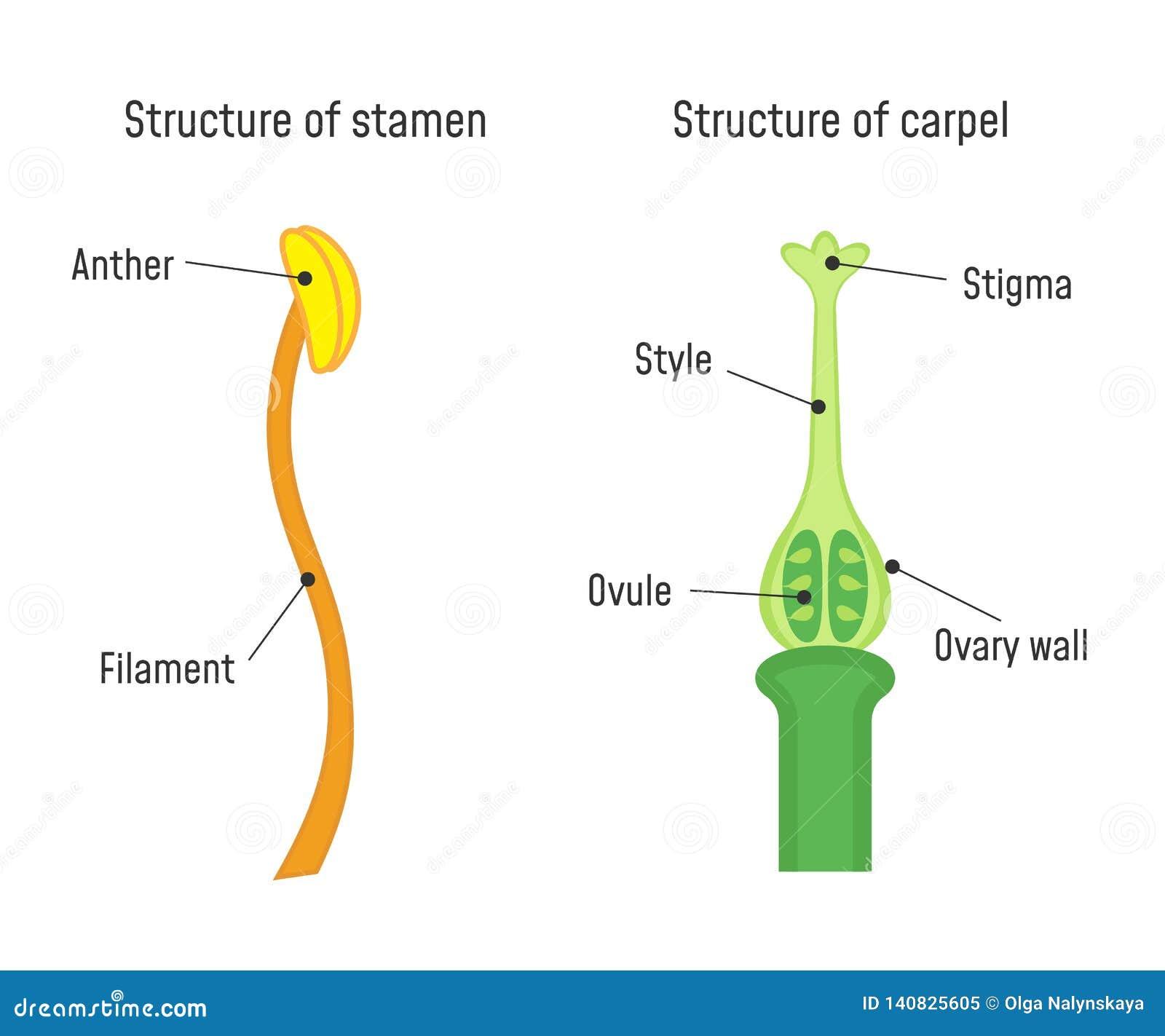 Structuur van Meeldraad en Carpel