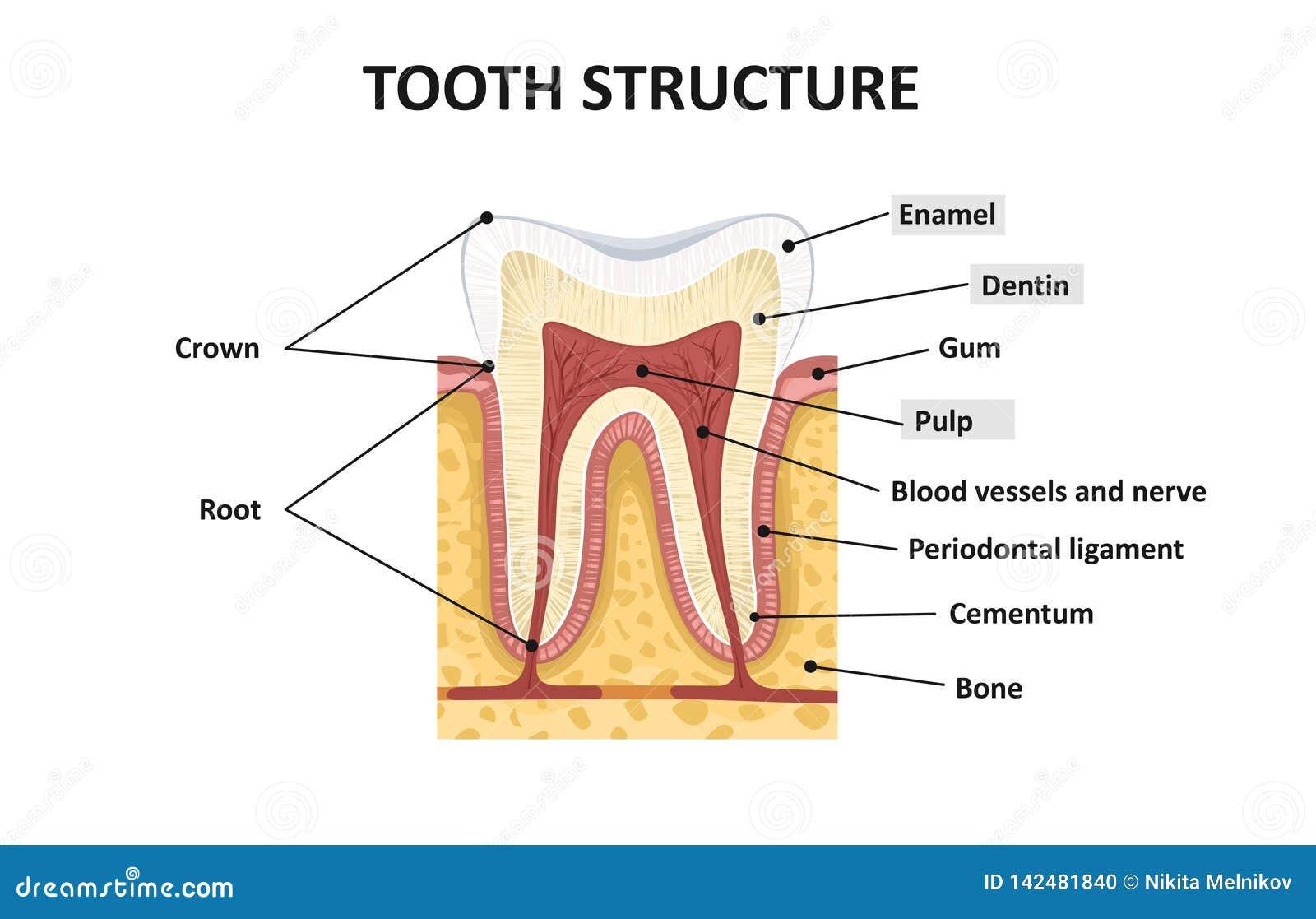 Structuur van menselijke tanden