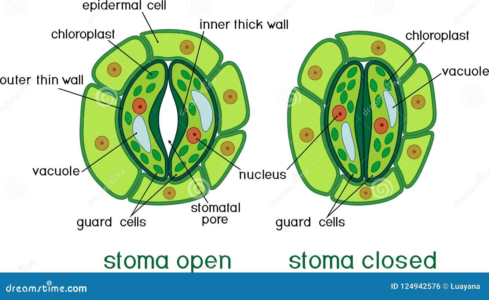 Structuur van stomatal complex met open en gesloten stoma met titels