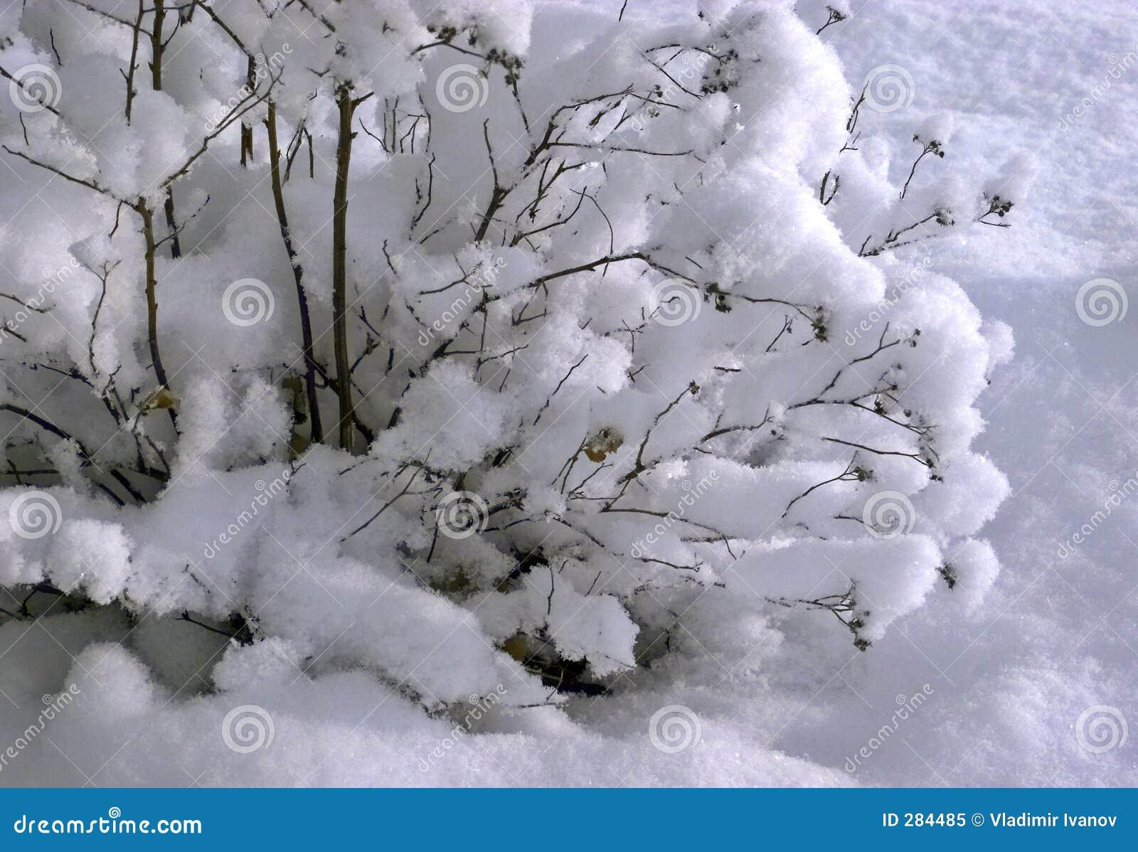 Struik die met sneeuw wordt behandeld