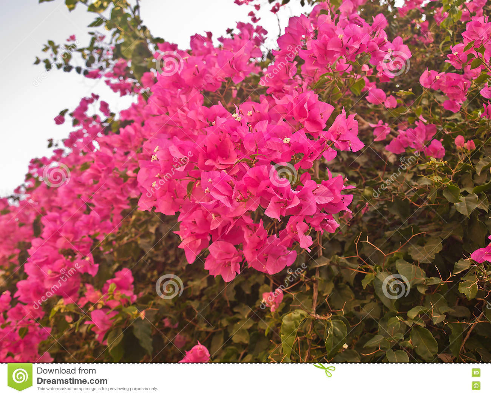 Struiken Met Bloemen Voor In De Tuin.Struik Met Heldere Rode Bloemen Stock Afbeelding