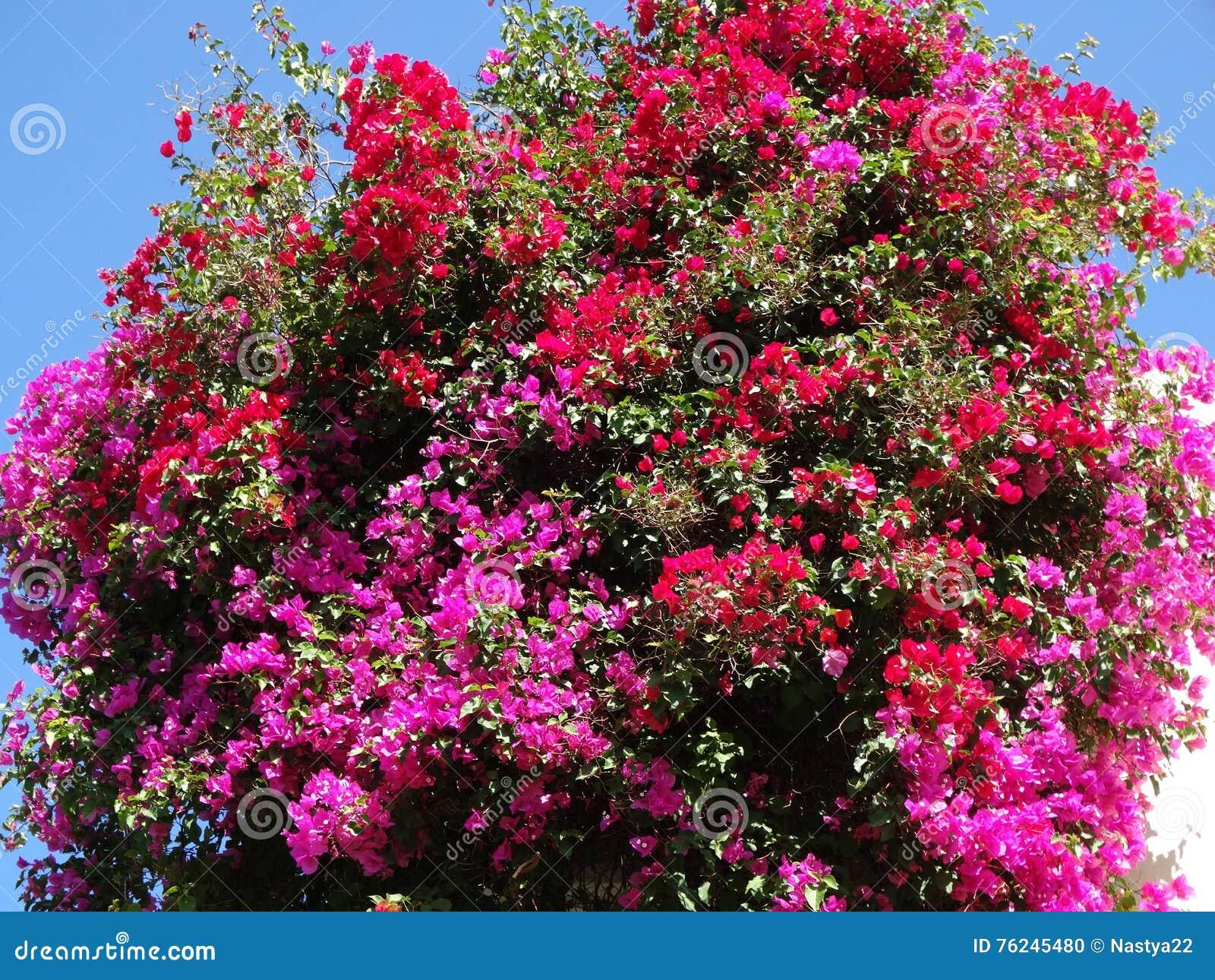 Wonderbaar Struik Van Bougainvillea De Rode Mediterrane Rode Bloemen Stock SB-64