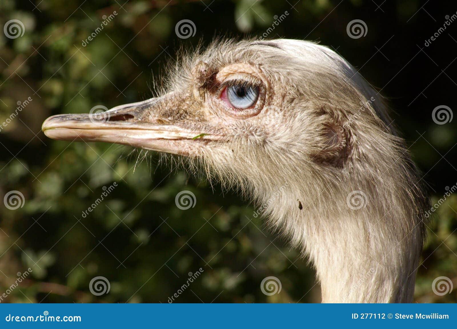 Struisvogel 04