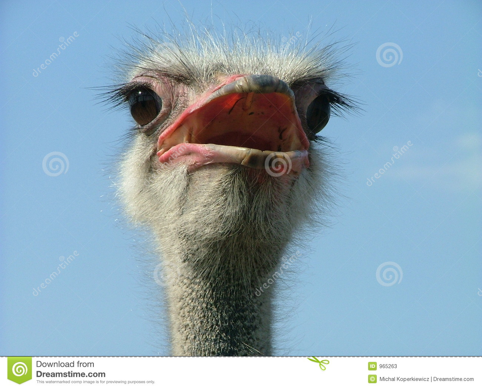 Struisvogel 2