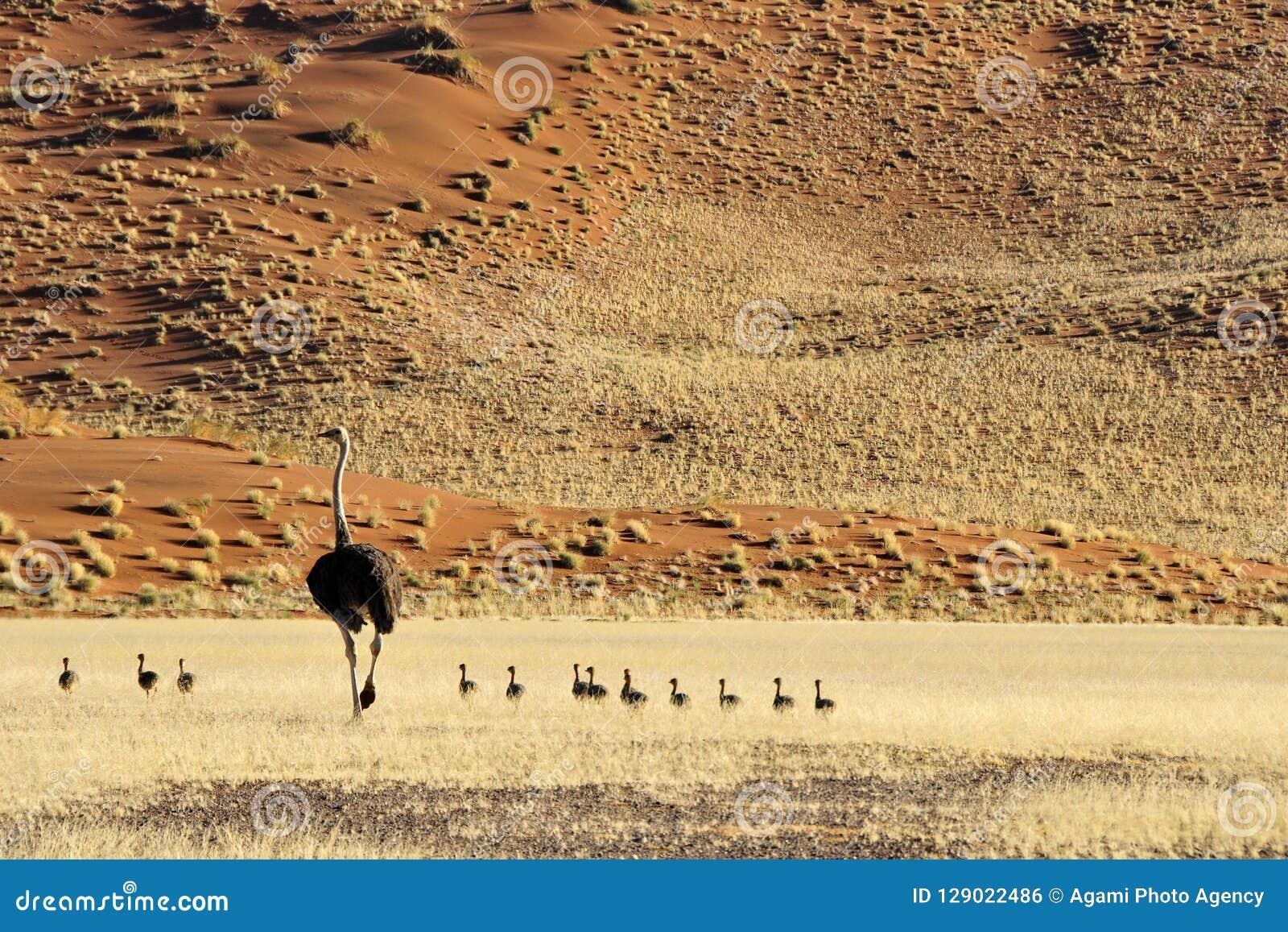 Struisvogel, avestruz, camelus del Struthio