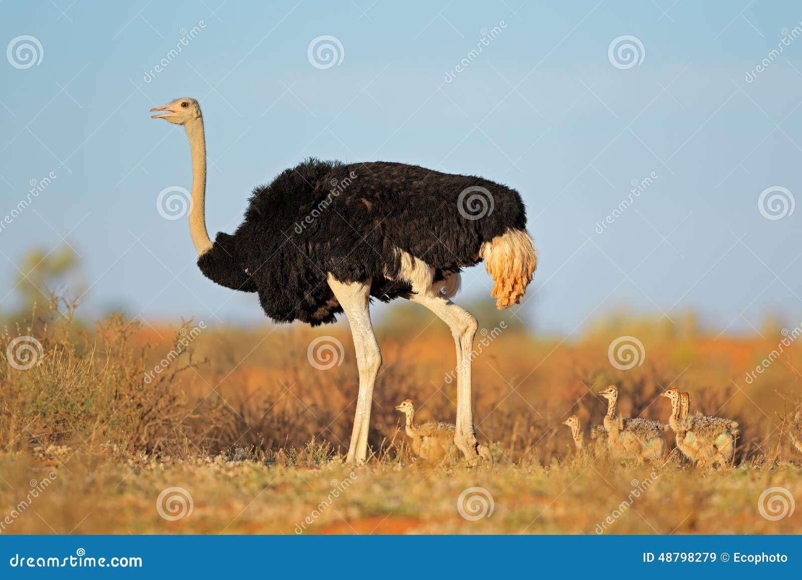 Struisvogel met kuikens
