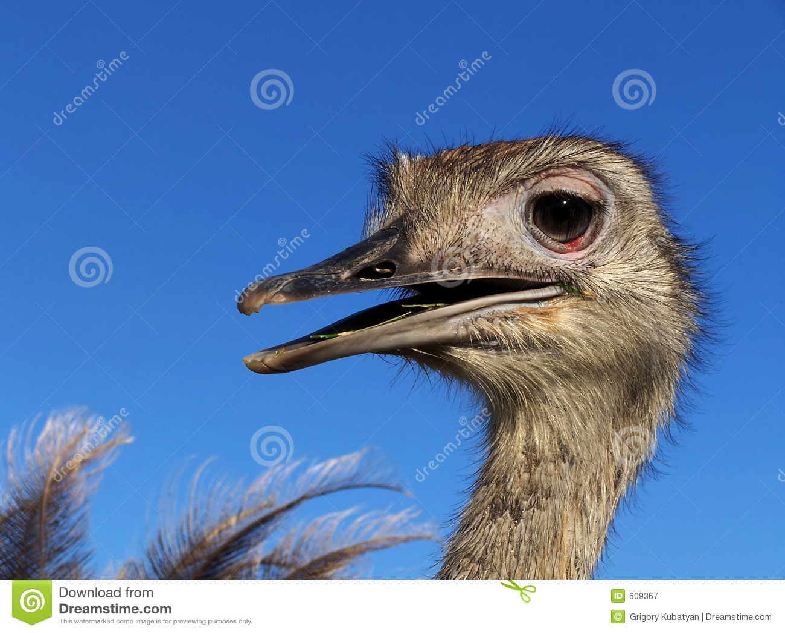 Struisvogel Nandou
