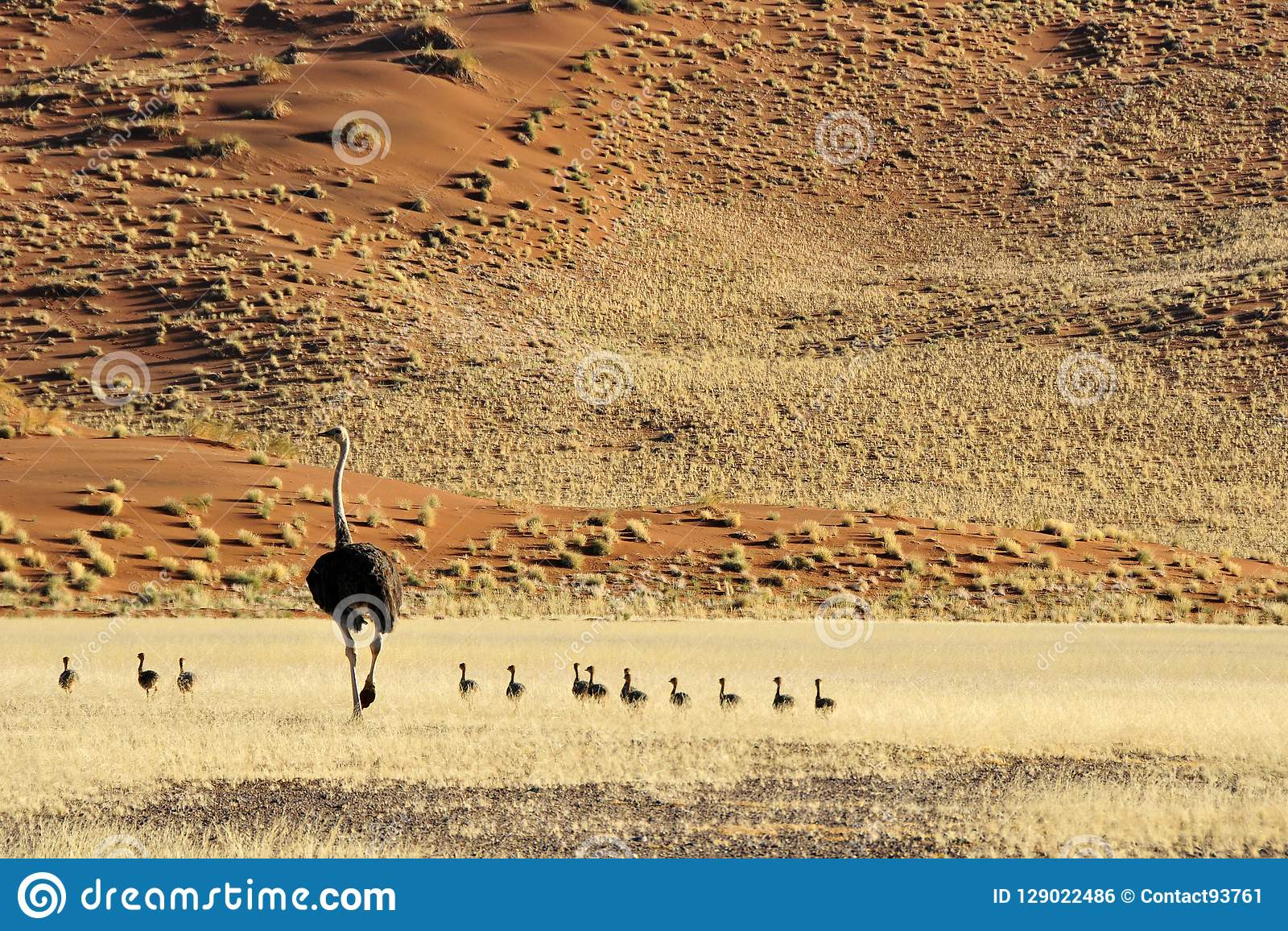 Struisvogel struts, Struthiocamelus