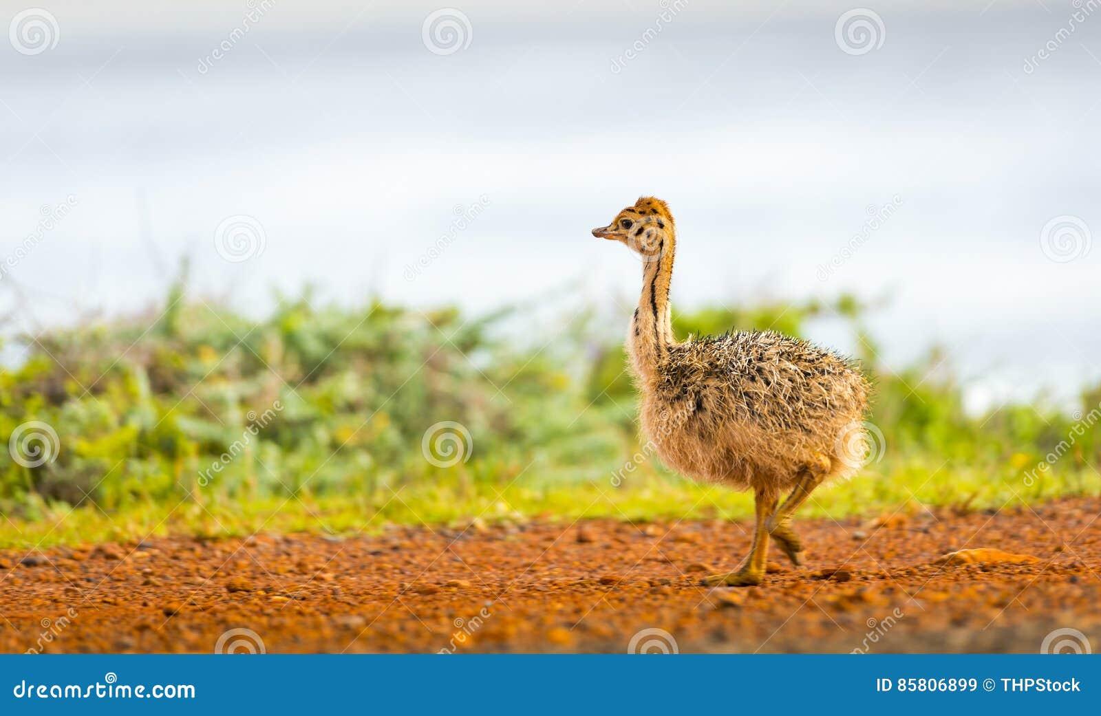 Struisvogelkuiken