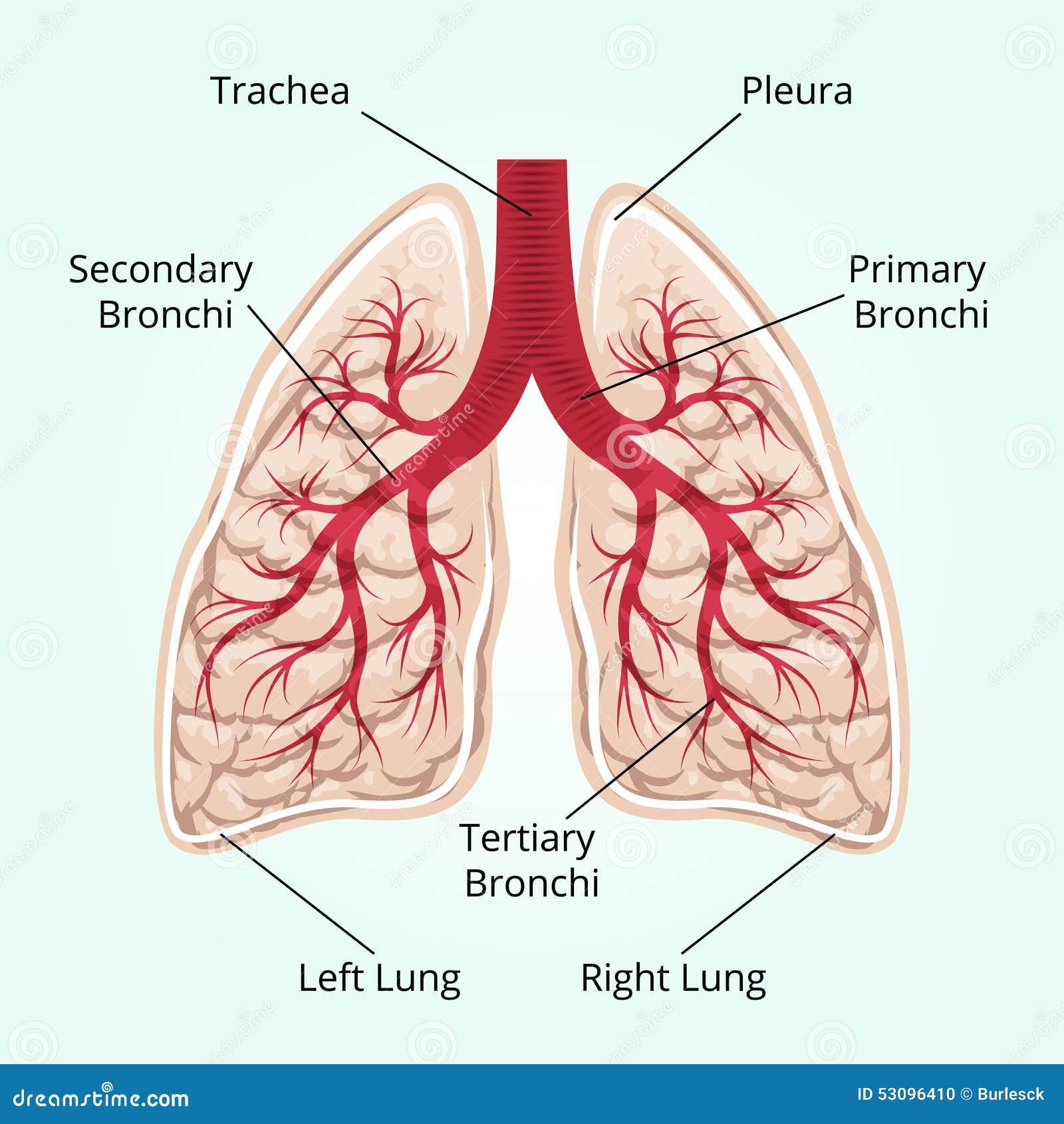 Groß Oberfläche Anatomie Der Lunge Und Der Pleura Fotos ...