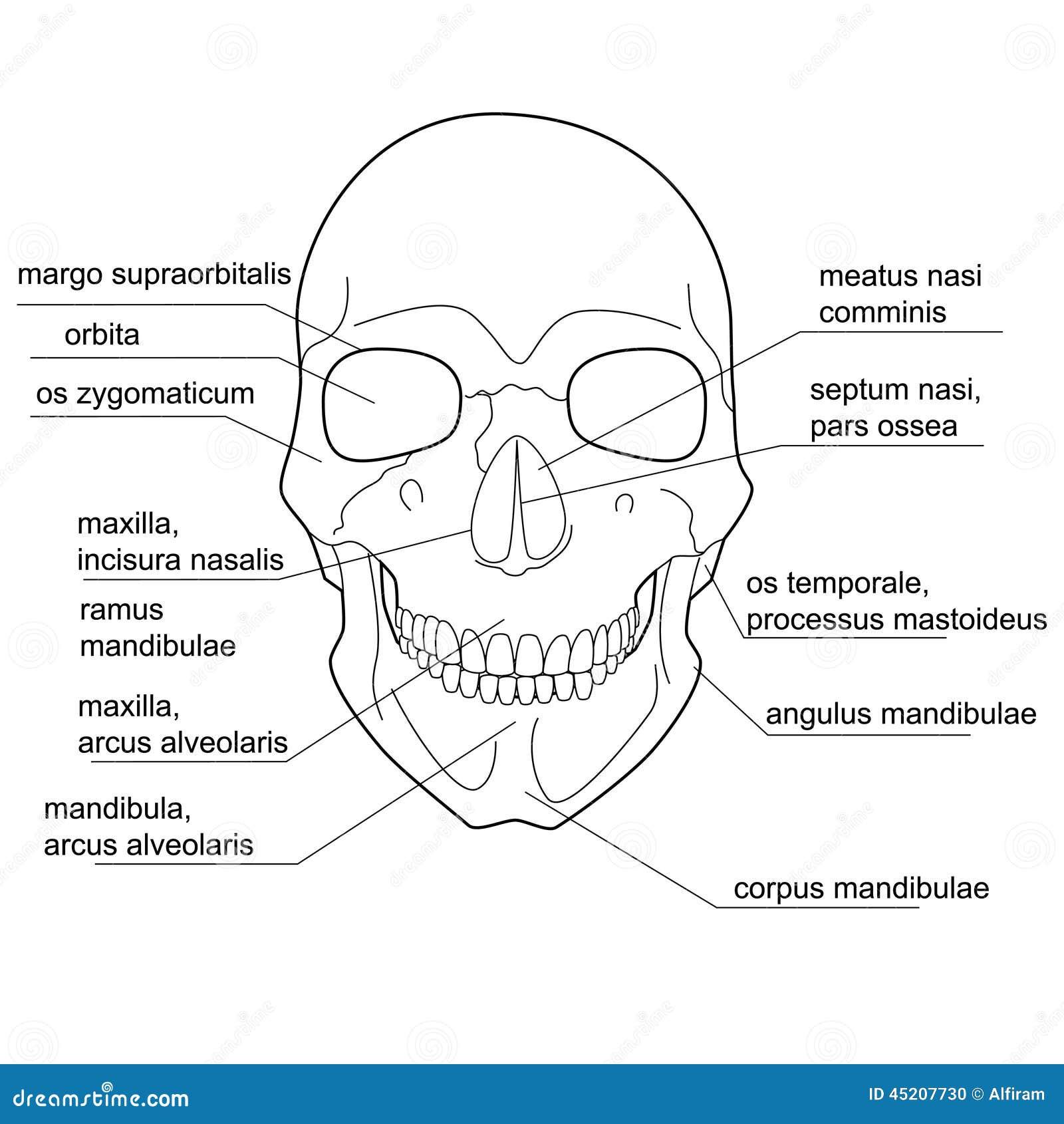 Struktur Des Menschlichen Schädels Vektor Abbildung - Illustration ...