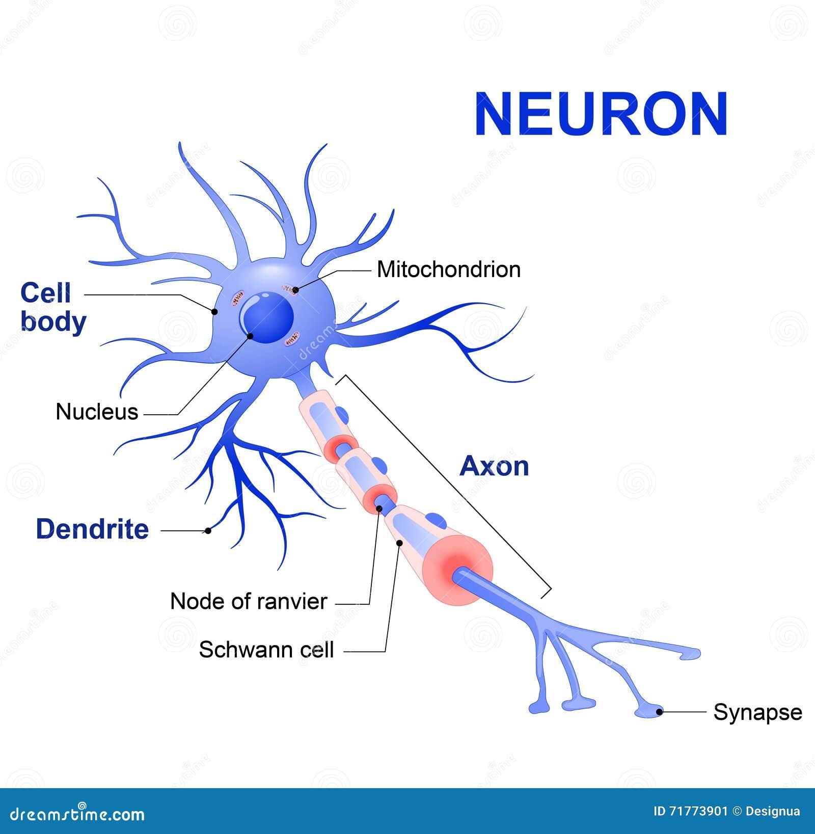 Struktur Eines Typischen Neurons Vektor Abbildung - Illustration von ...