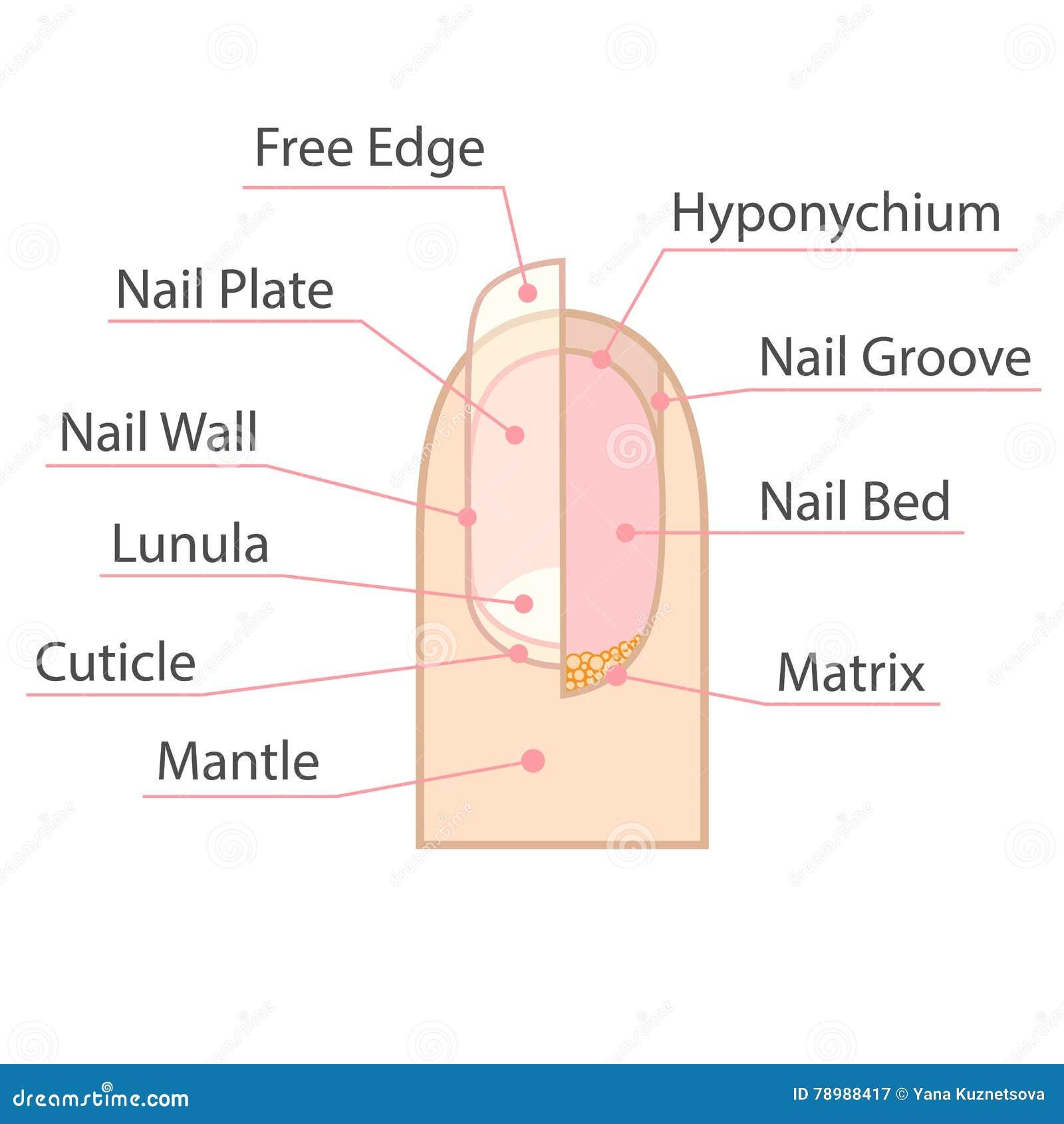 Struktur Und Anatomie Des Menschlichen Nagels Vektor Abbildung ...