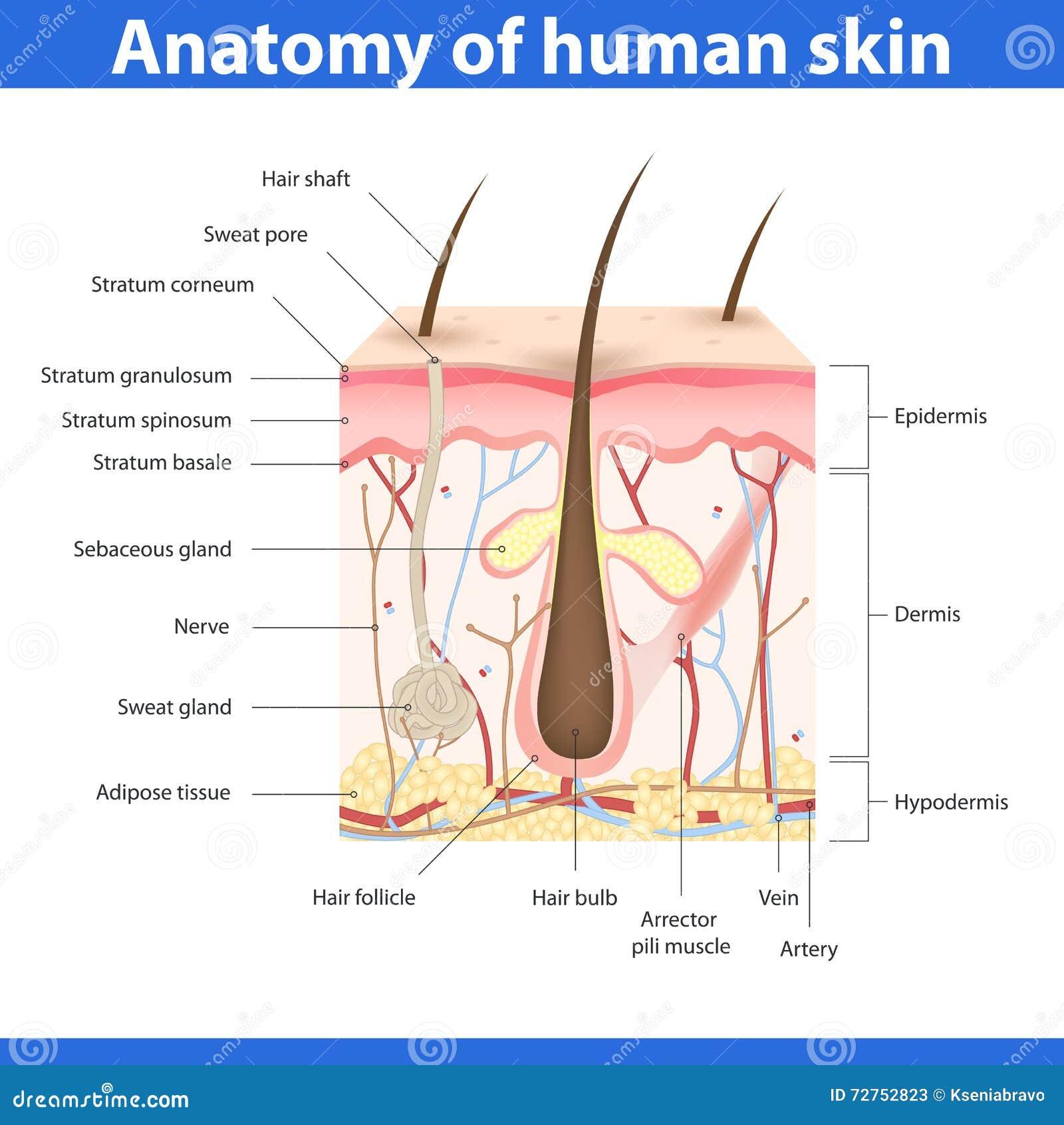 Struktura ludzka skóra, wektorowa ilustracja