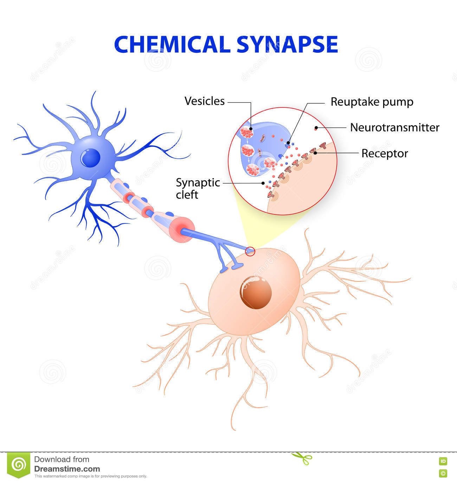 Struktura typowy chemiczny synapse neurotransmitter releas