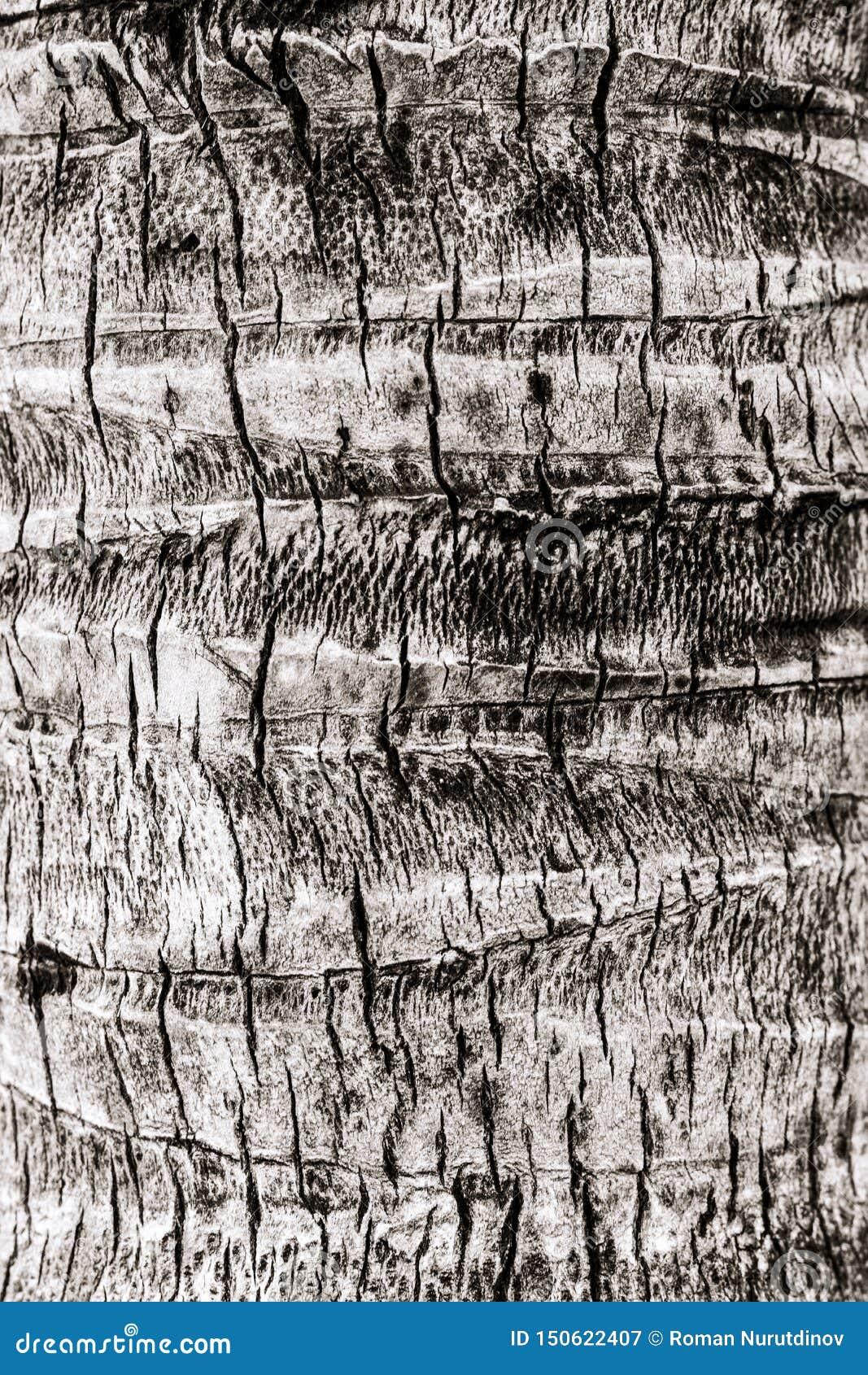Strukturen av stammen av en palmträd