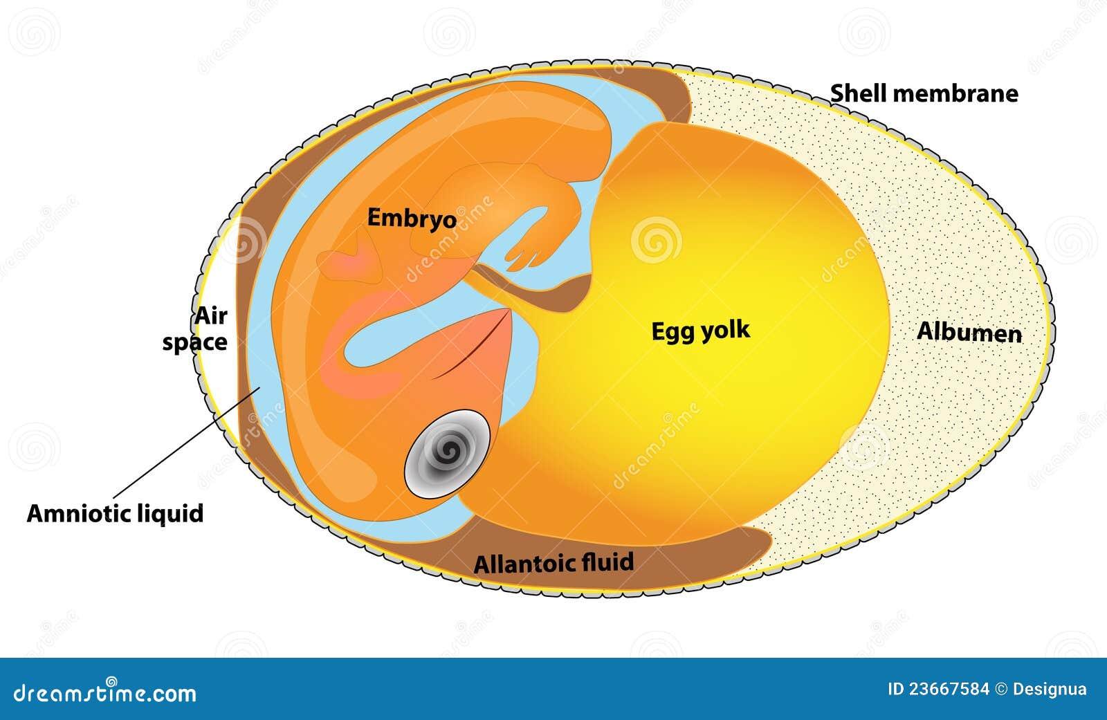 Vogelembryo vektor abbildung. Illustration von embryo - 48513483