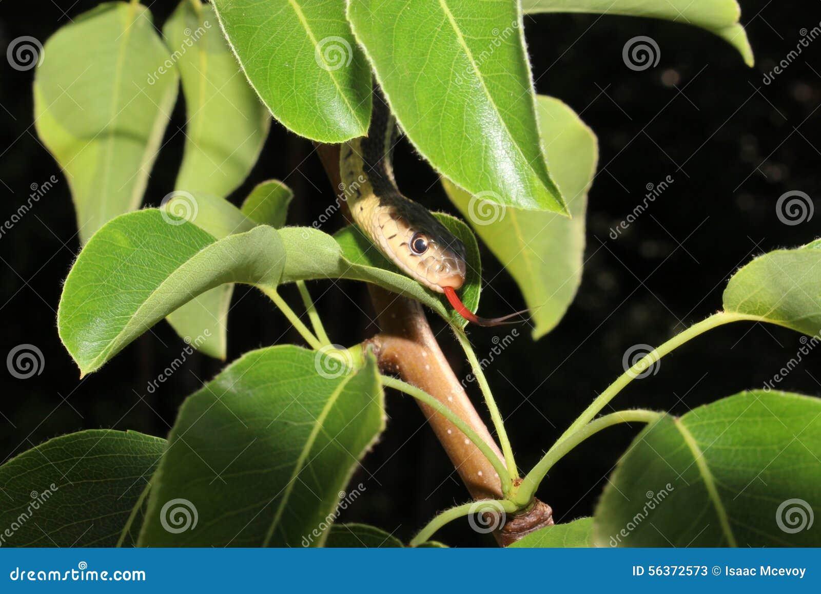 Strumpfband-Schlange
