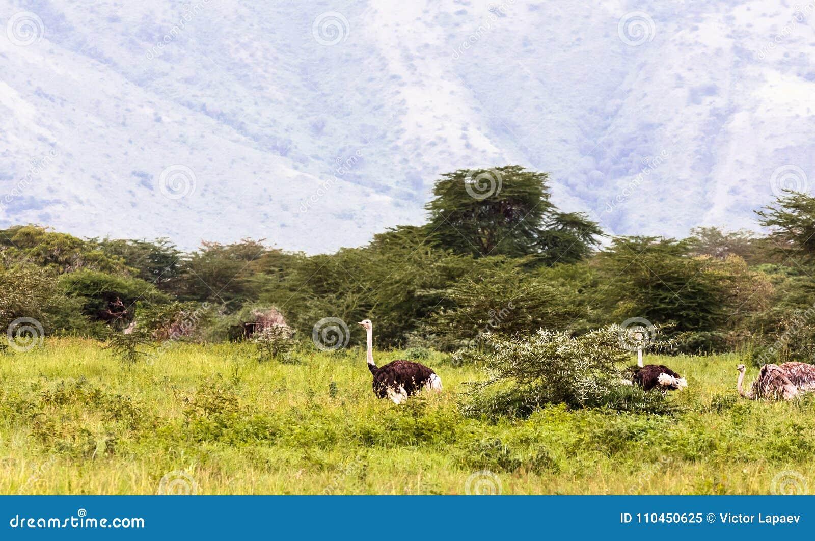 Strutsar inom krater av Ngorogoro