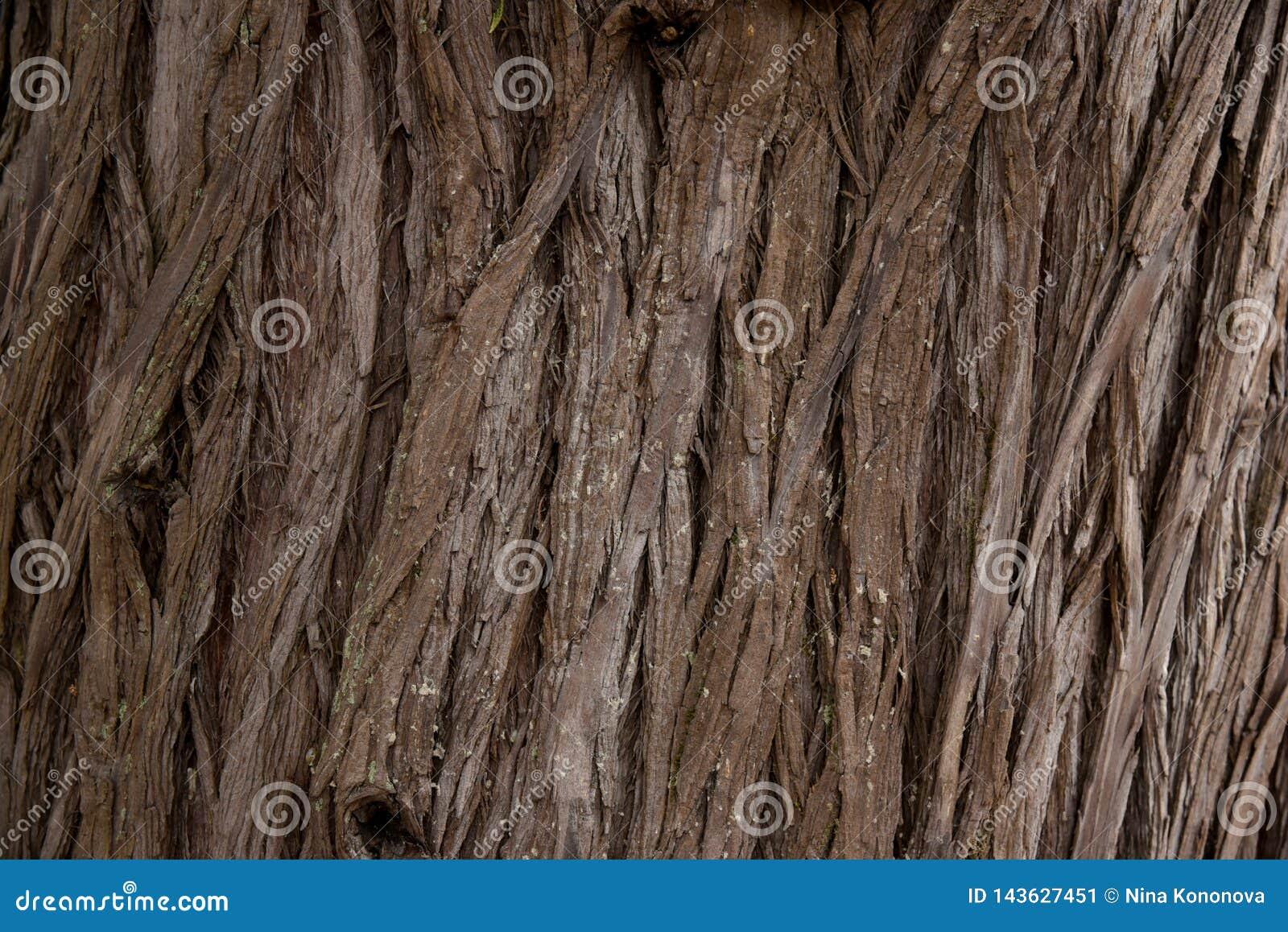 Struttura completa di struttura dell albero di corteccia in natura Chiuda su della corteccia della sequoia