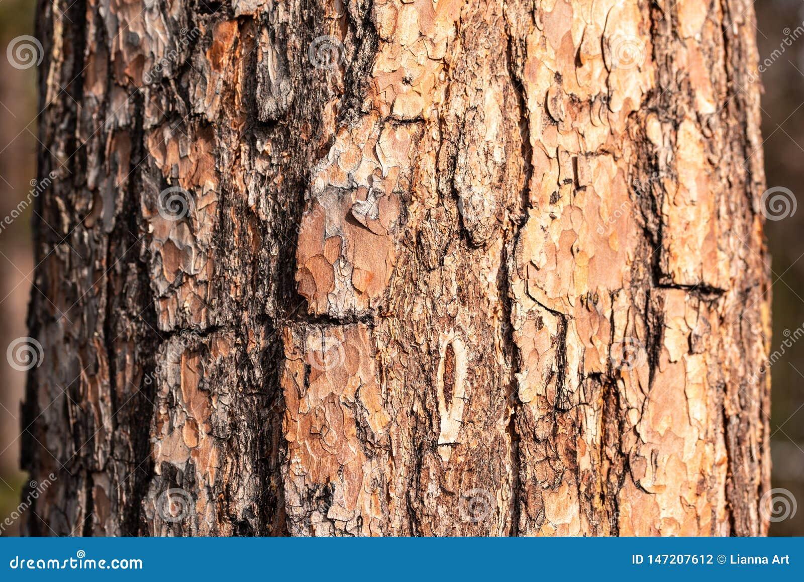 Struttura della corteccia di una vista del primo piano del pino
