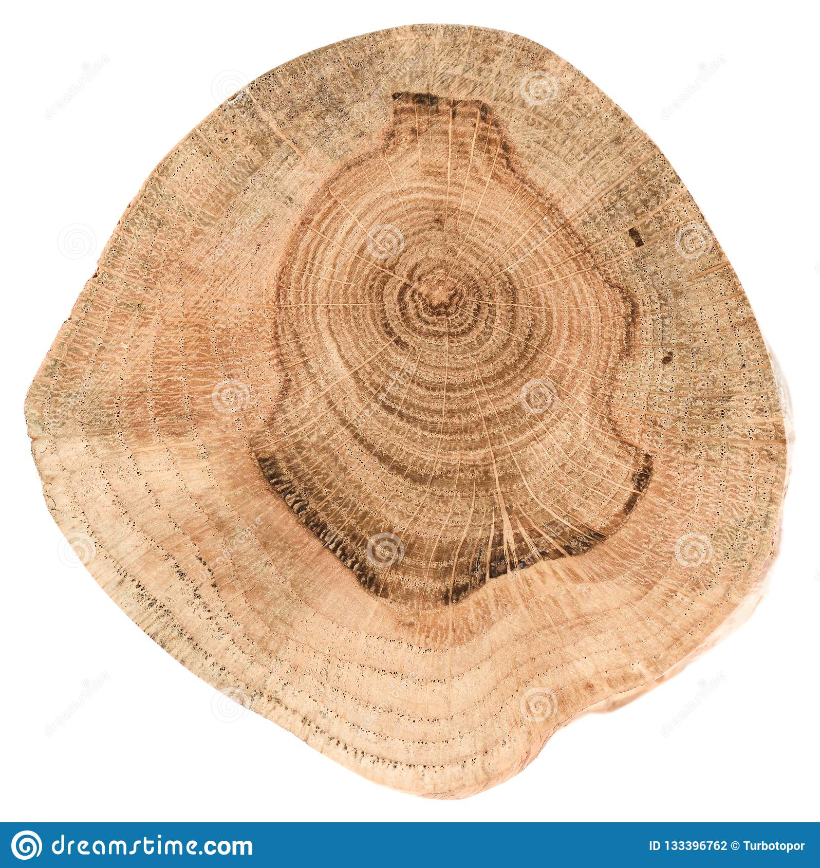 Struttura della fetta della quercia Lastra di legno di forma irregolare con il ri annuale