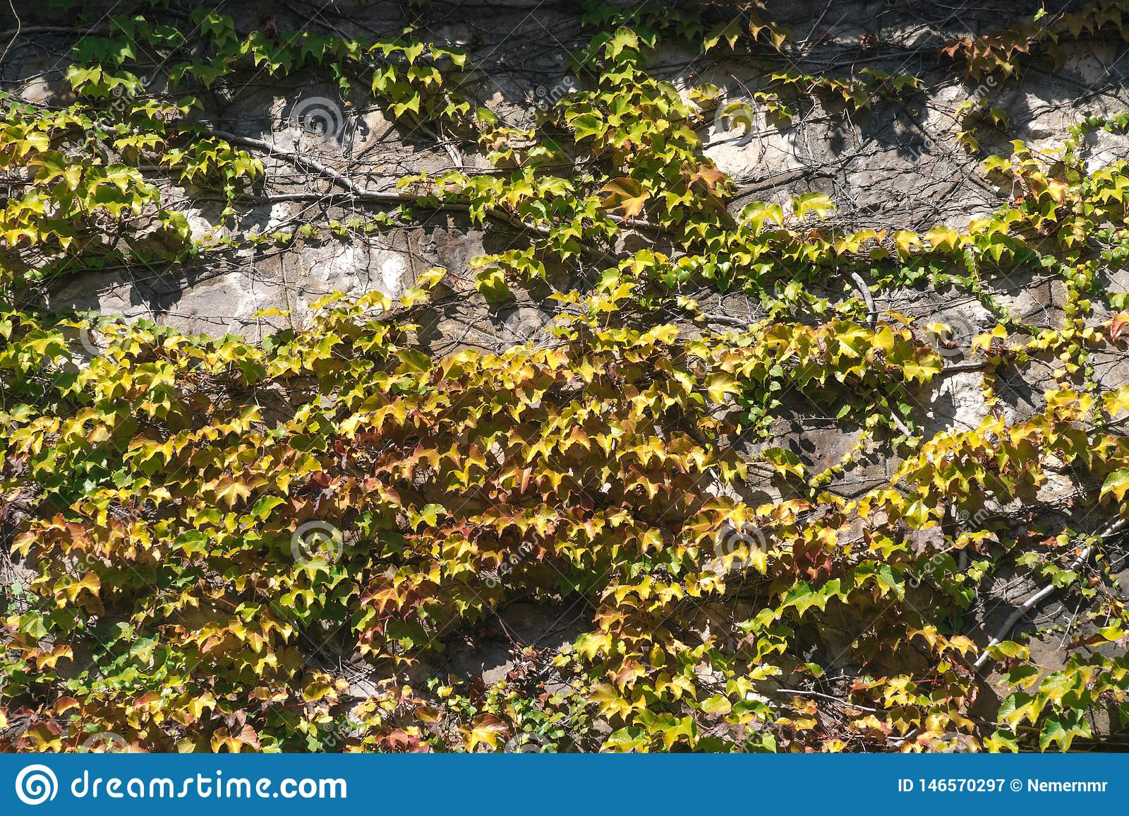 Struttura delle foglie dell edera su una parete di pietra, concetto di vecchie citt?, case, costruzioni, vegetazione su calcestru